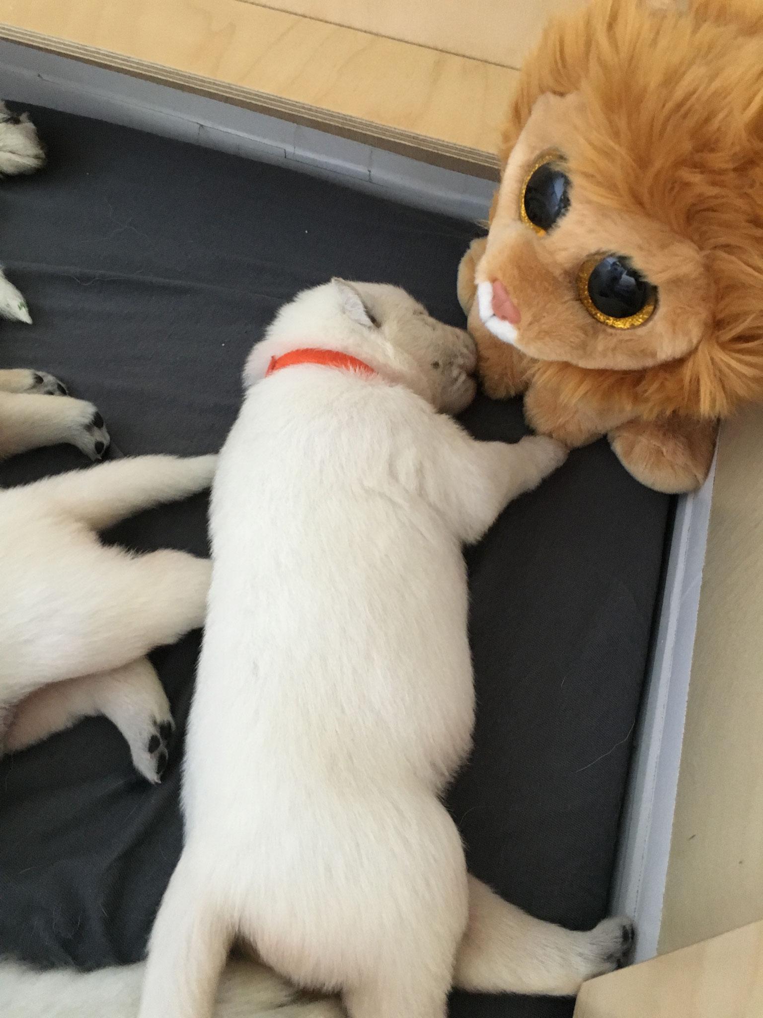 Leona untersucht den Löwen