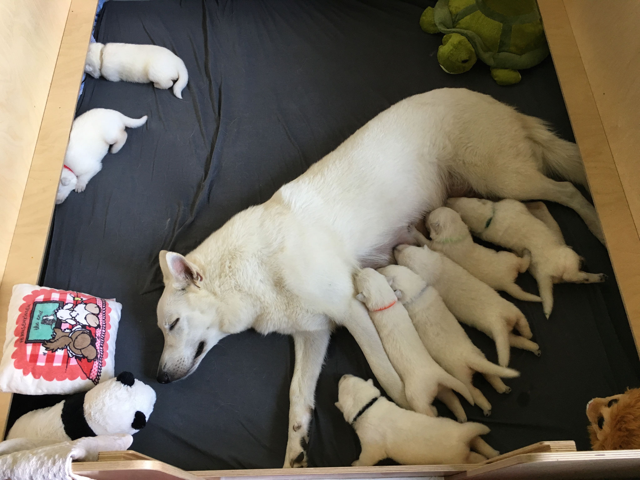 Milka entspannt beim Säugen