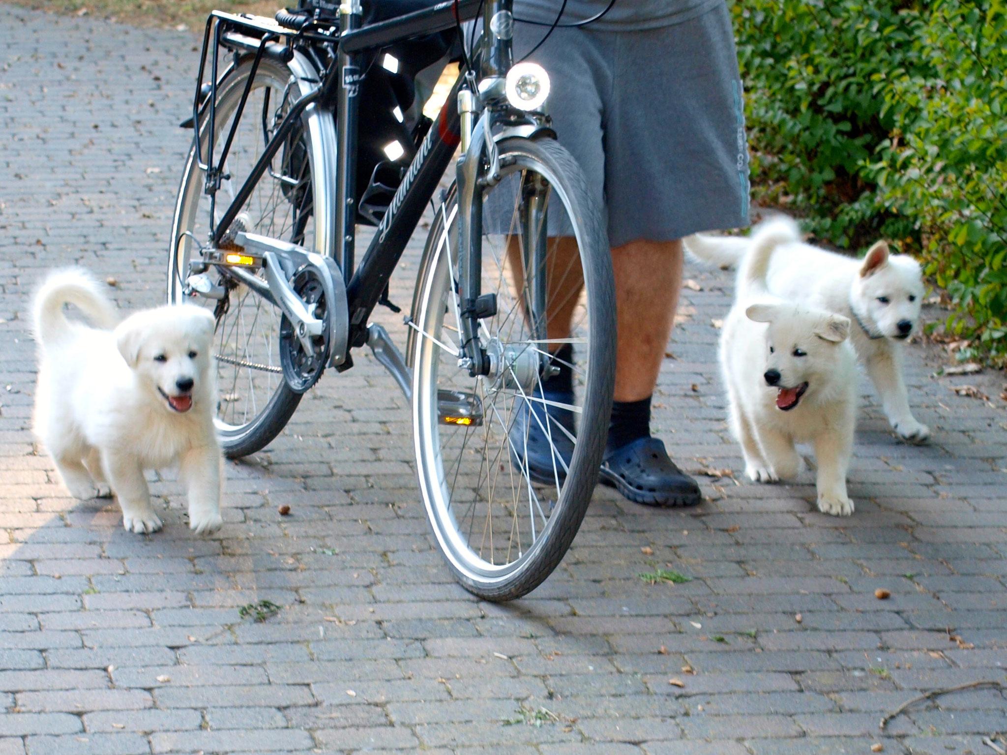 perfekte Fahrrad-Begleit-Hunde