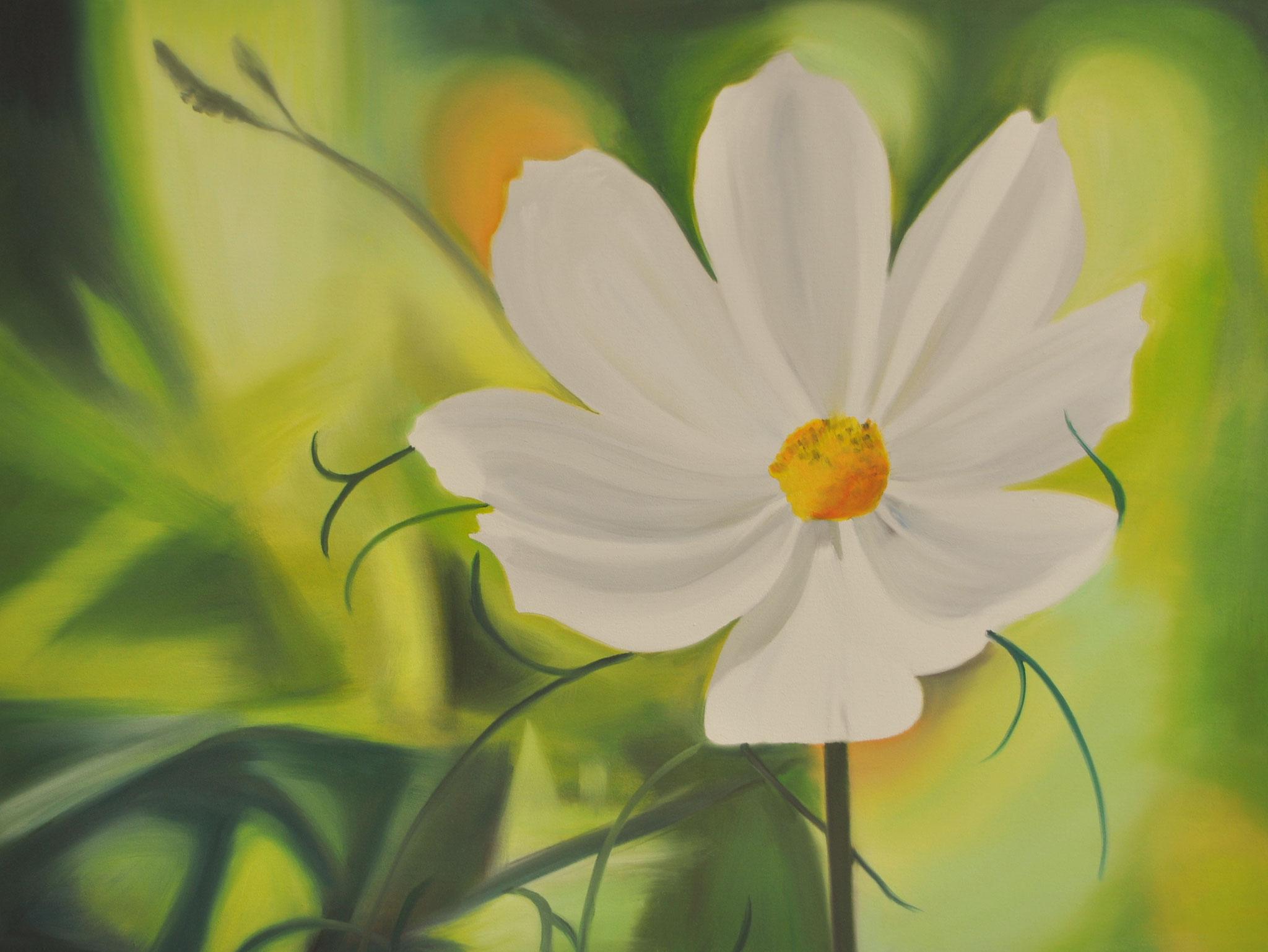 Weiße Kosmea, 60 x 80 cm