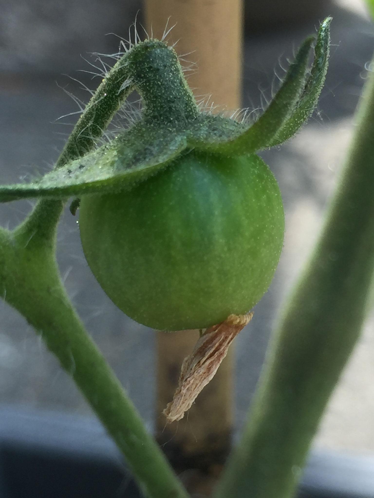 Gerade noch geblüht, jetzt schon eine richtige Tomate