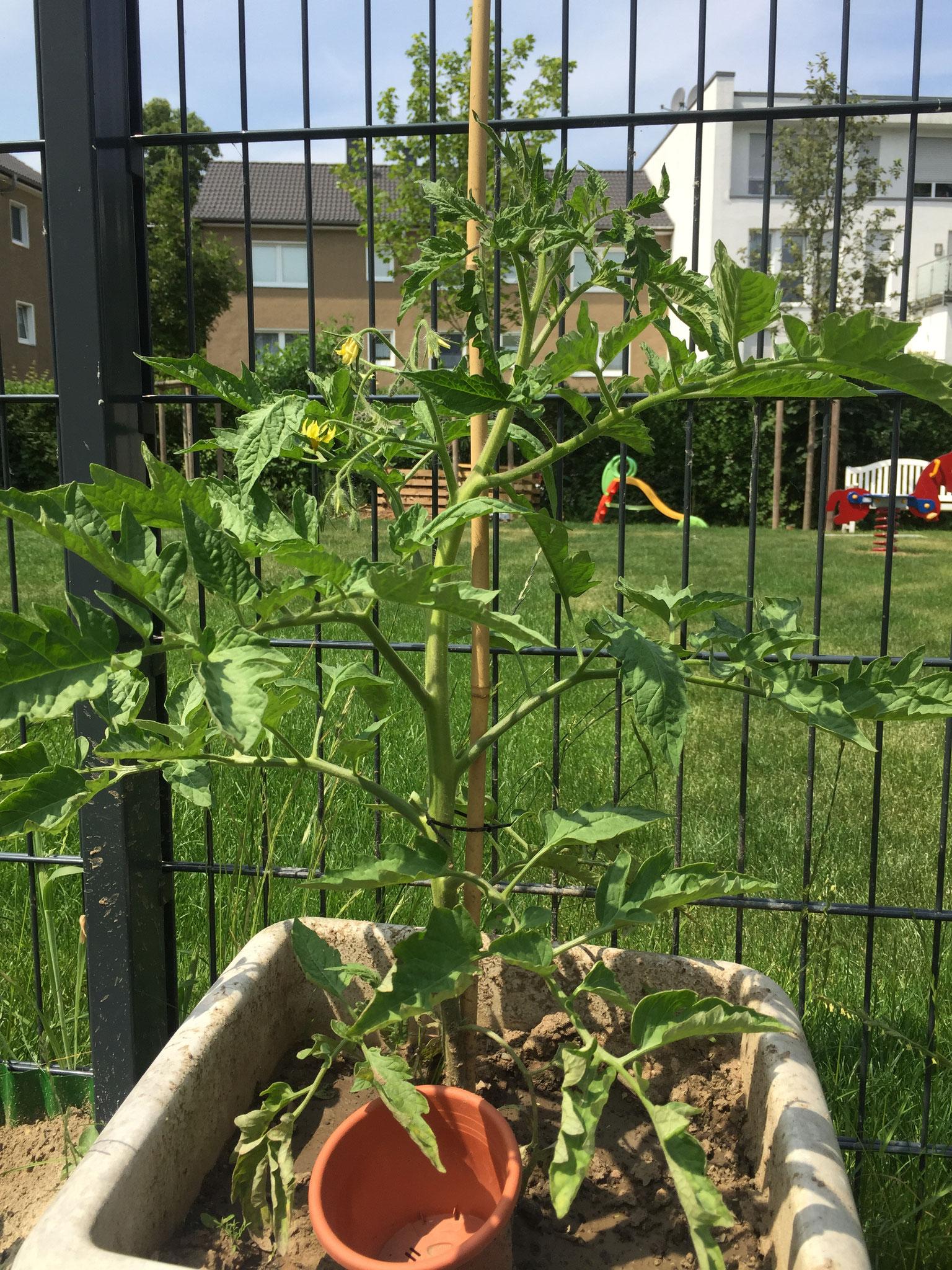 Die Tomaten wachsen so schnell, sie werden jeden Tag ausgegeizt