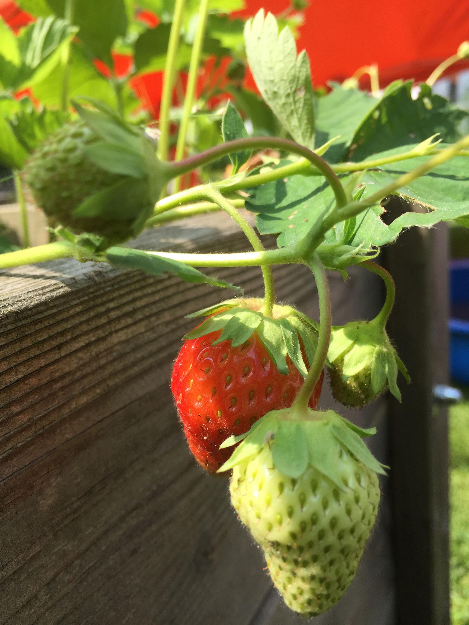 Endlich sind die Erdbeeren reif