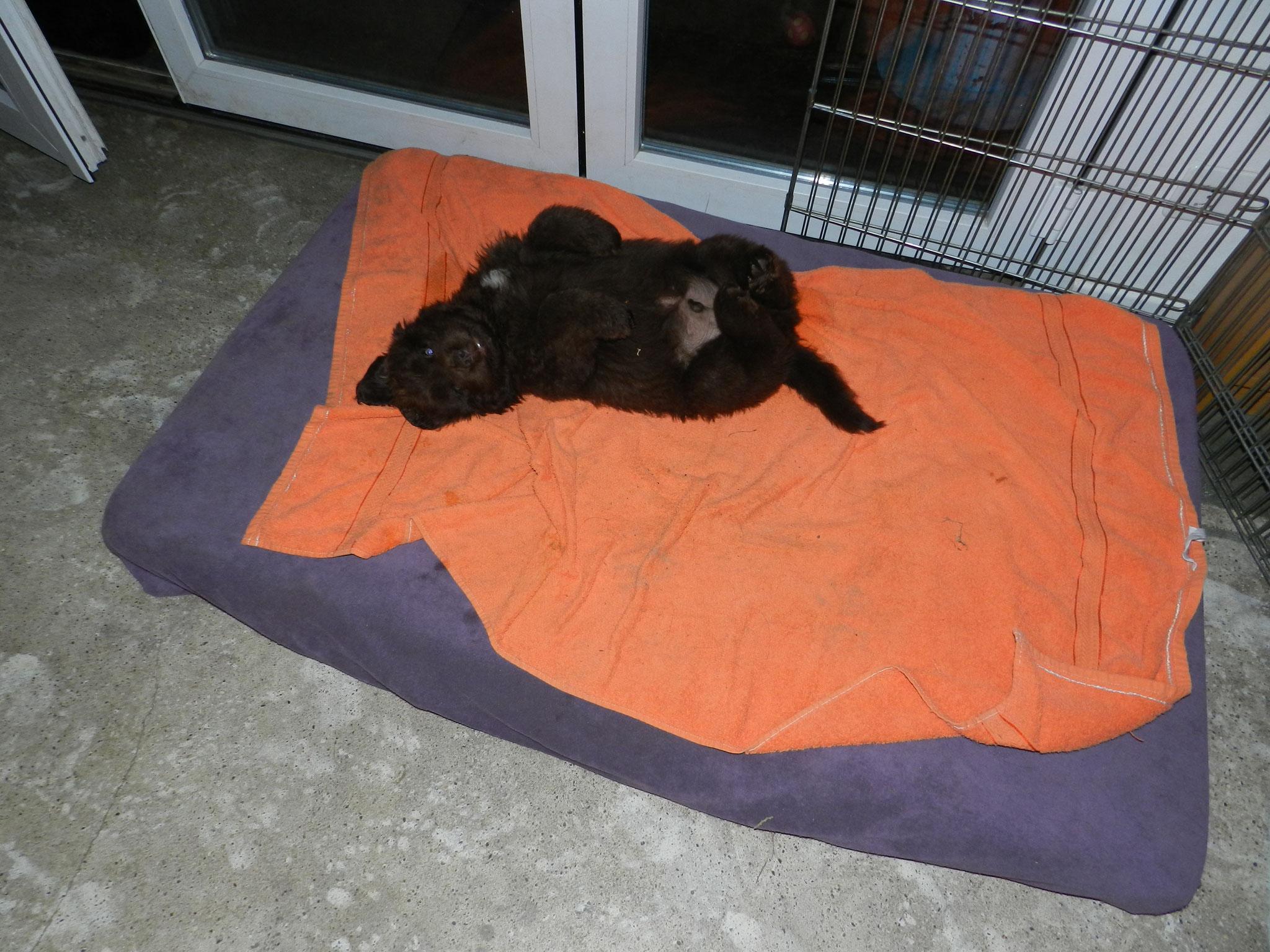 Indio in seiner liebsten Schlafstellung