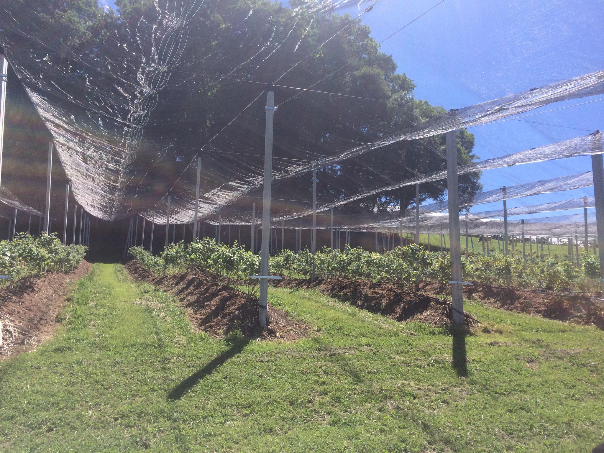 11. Juni 2017 Nun ist die Heidelbeeranlage fertig, mit Hagelnetz und alles was dazu gehört
