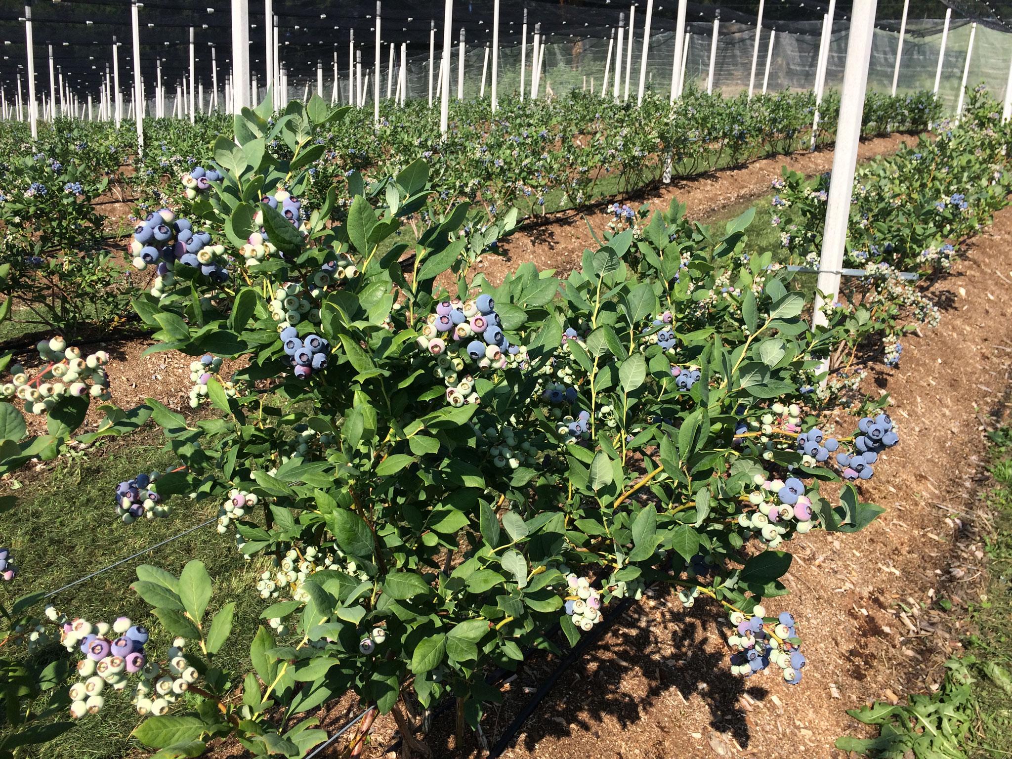 7. Juli 2018 Die ersten Heidelbeeren haben sich blau eingefärbt und können bald gepflückt werden
