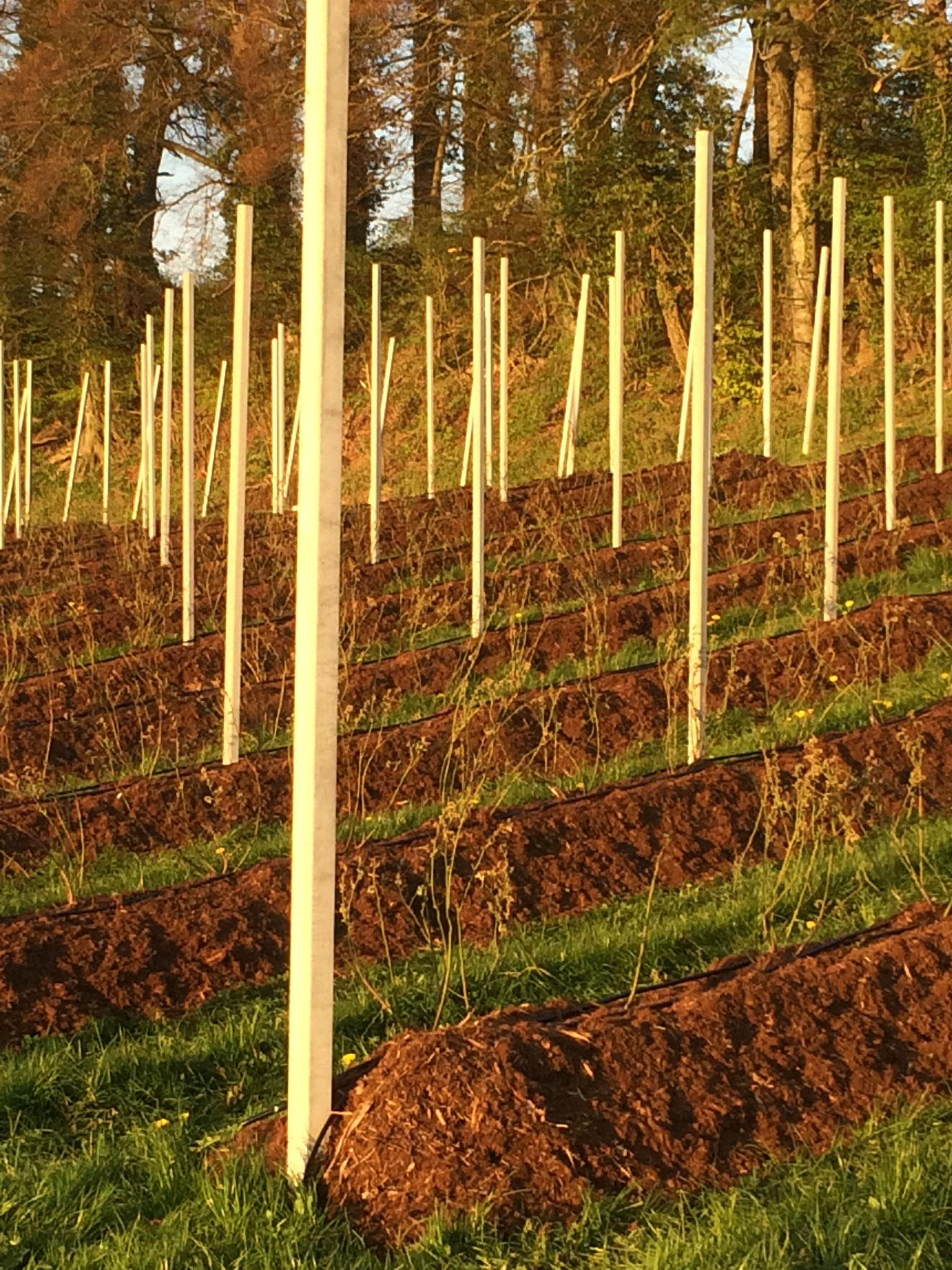 13. April 2017 Alle Heidelbeerstöcke sind in die vorbereiteten Dämme verpflanzt worden