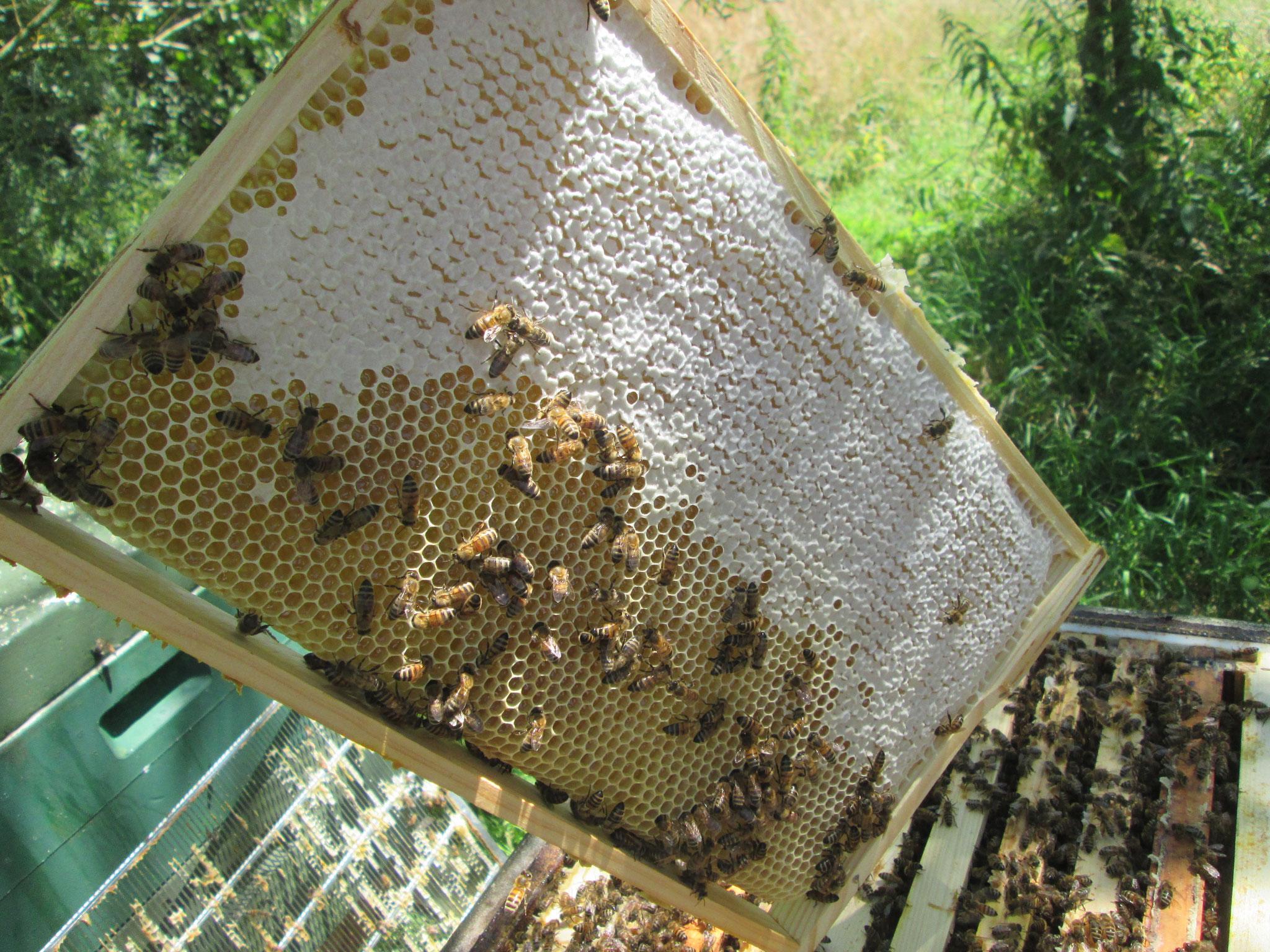 """Die Bienen haben bereits große Teile der Wabe mit Wachsdeckeln versehen: Der Honig ist reif zur Entnahme. Zur Sicherheit machen wir noch die """"Spritzprobe"""": Wenn beim Schnicken und Schütteln nichts heraustropft, ist der Honig reif genug."""