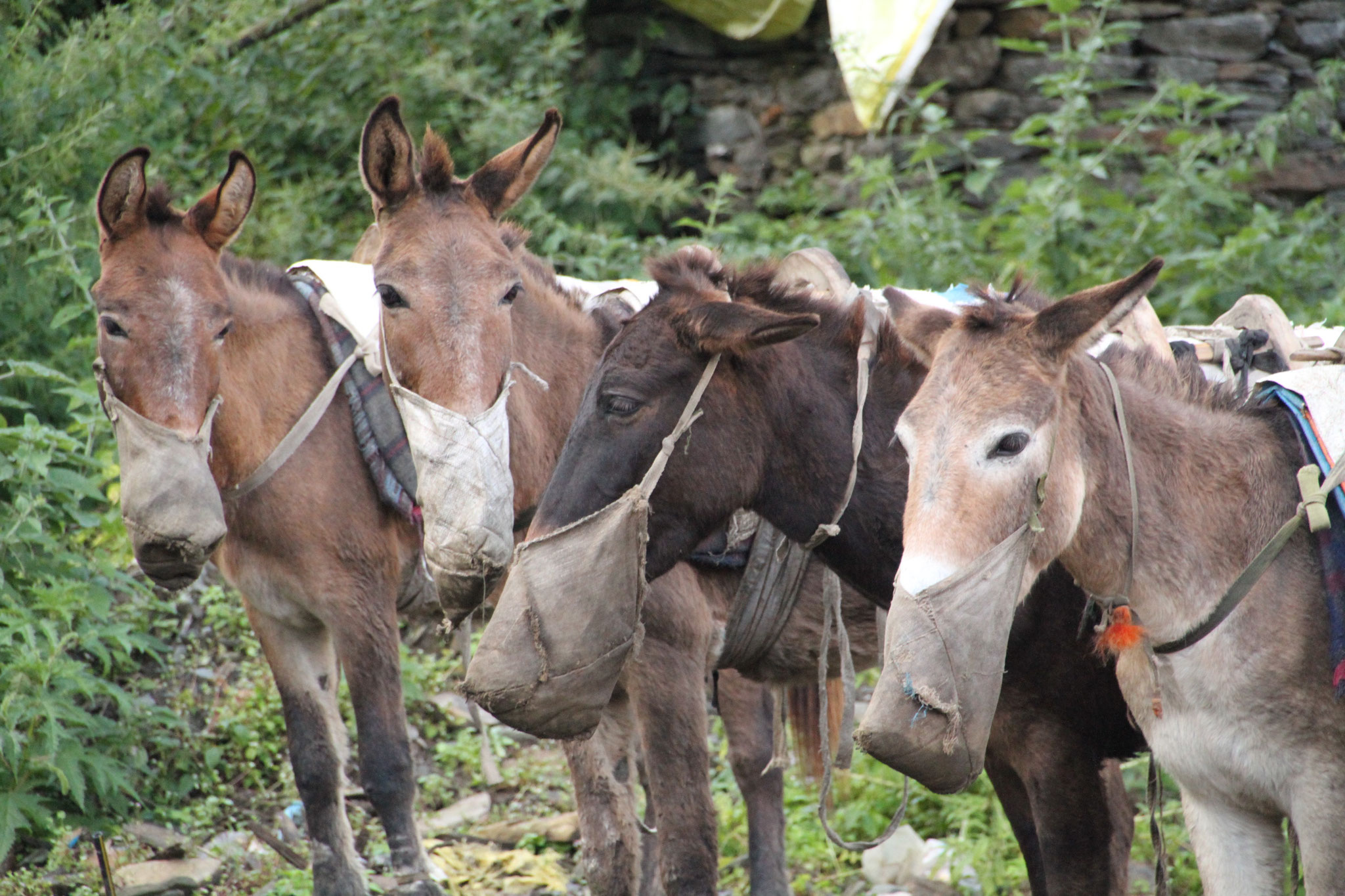 breakfast for the mules