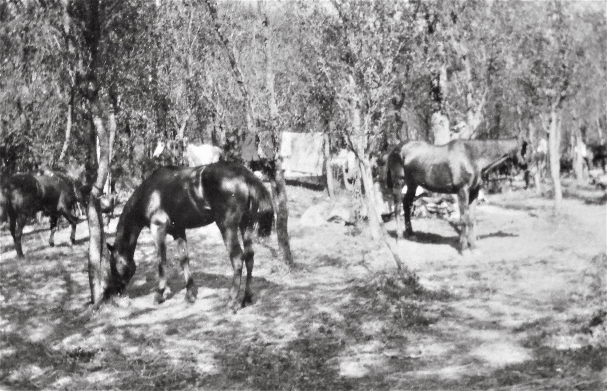 Freilager der Pferde der 3. / D5 im Garten oberhalb des Schlosses.