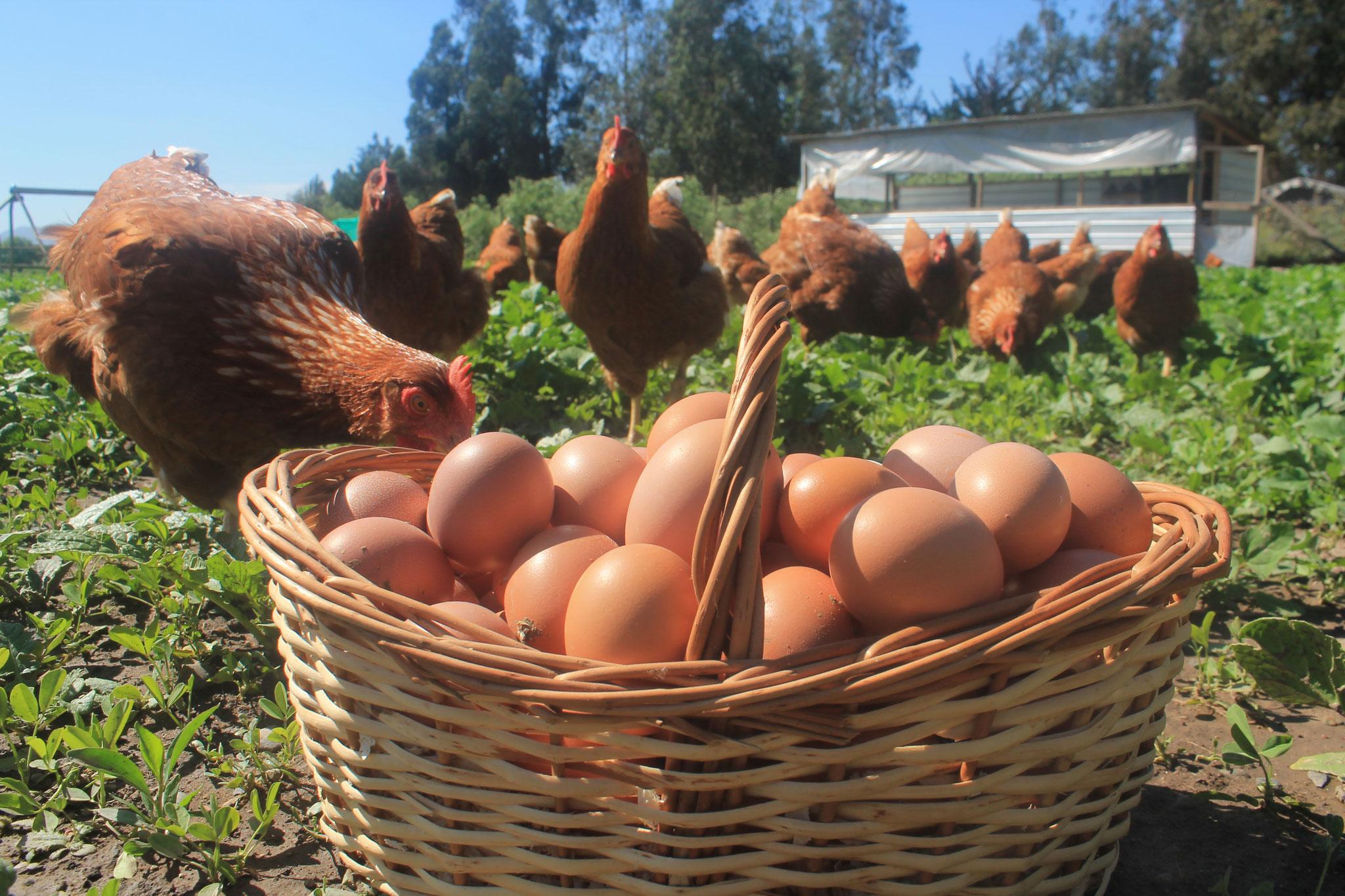 Huevos Conscientes