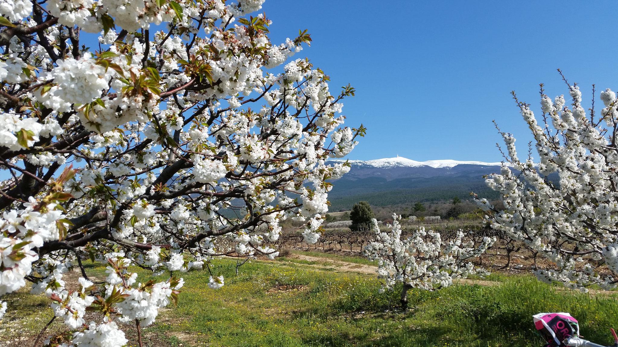 loucardaline-bedoin-ventoux-chambre d hotes-gites-cerisier en fleur-vaucluse