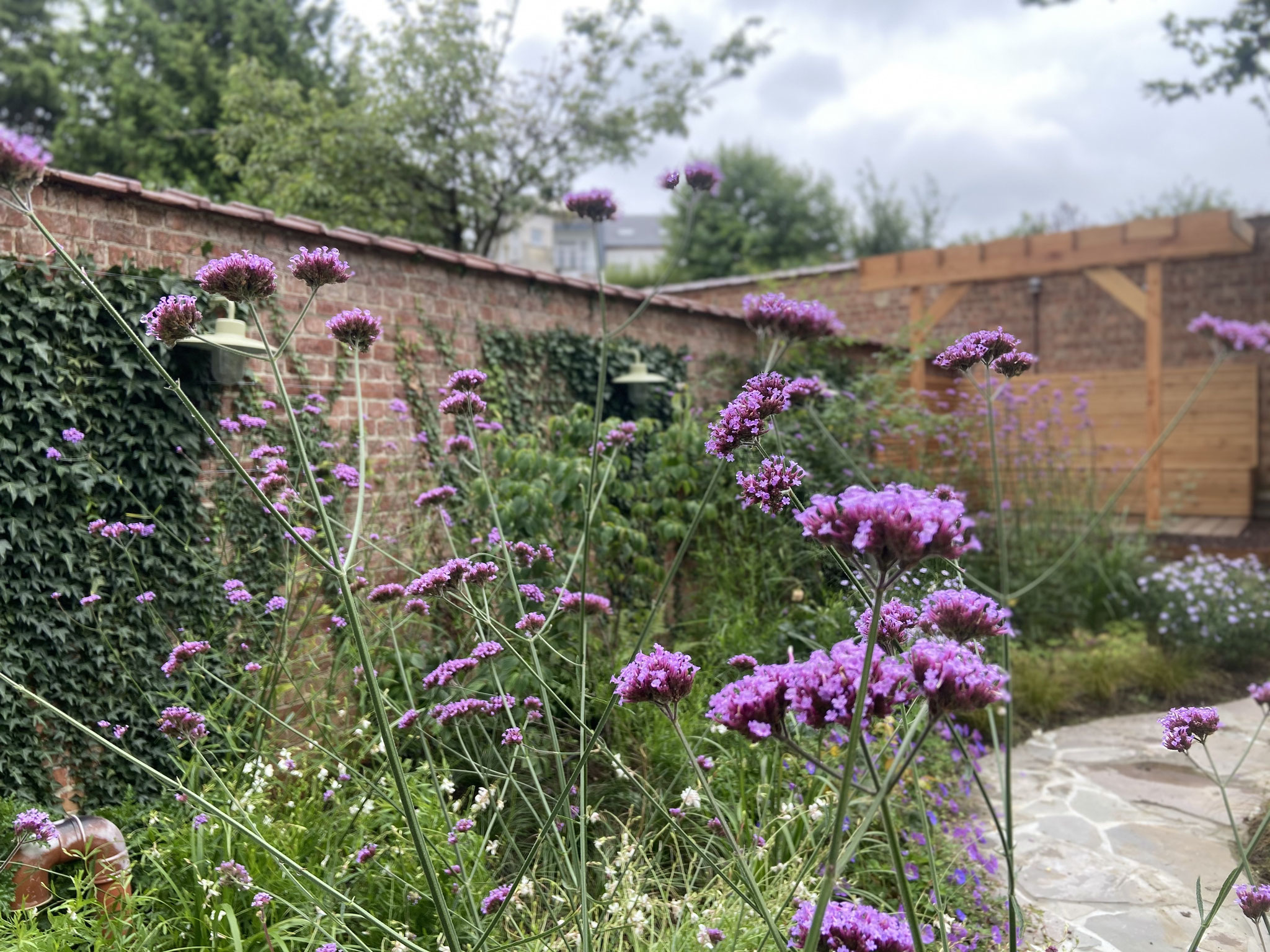 Jardin de ville 50m2 - Jardin naturaliste - Détail de végétation / Verbena bonariensis. Aménagement Jardin Bruxelles