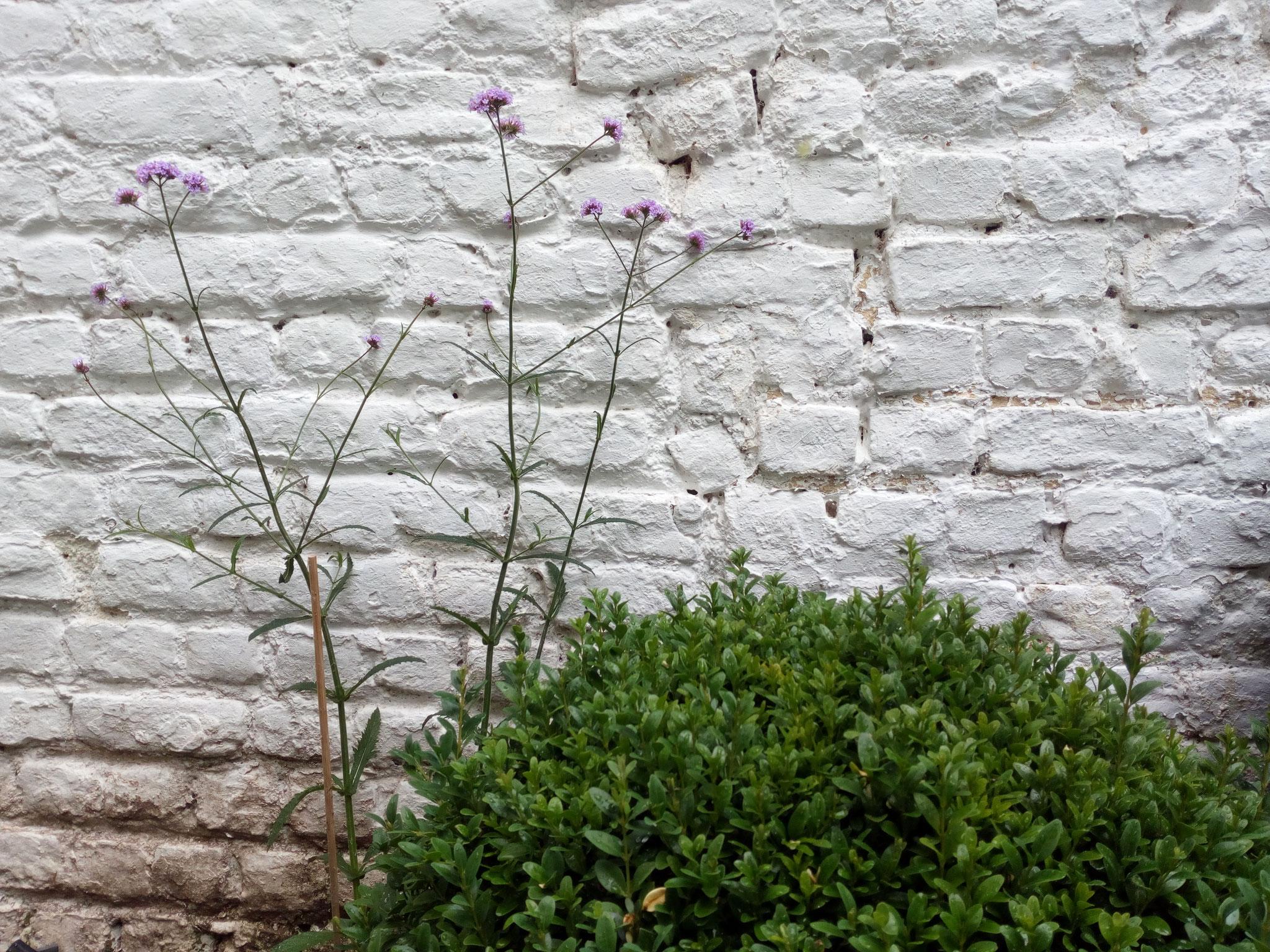 Jardin/ Cour Ixelles - Détail sur la boule de buis et la verveine de Buenos Aires. Amenagement jardin Bruxelles