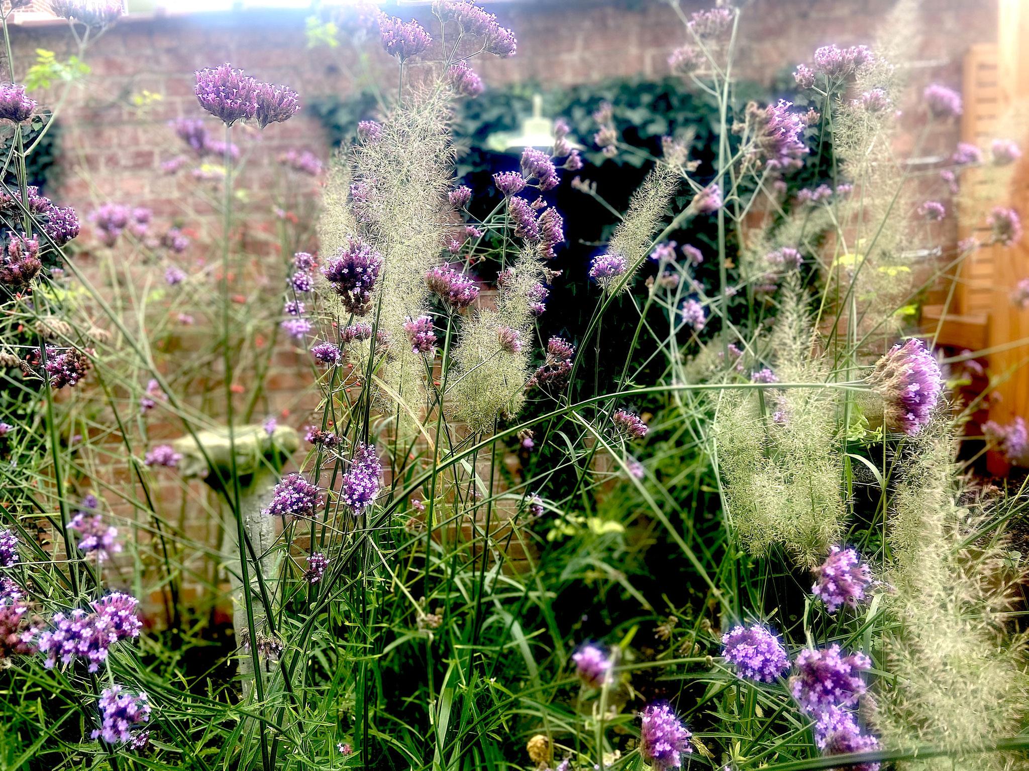 Jardin de ville 50m2 - Jardin naturaliste - Détail de végétation / Verbena bonariensis et calamagrostis brachetrycha. Aménagement Jardin Bruxelles