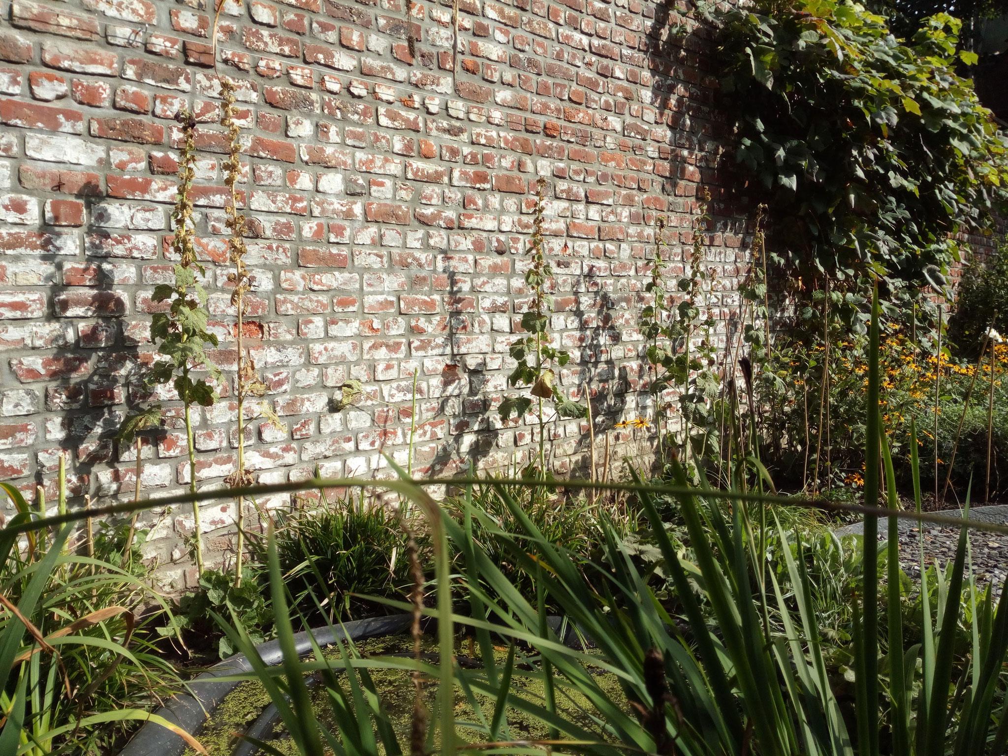 Jardin de ville 120m2 - 2 ans après - Détails: amarre existante et les roses trémières. Amenagement jardin Bruxelles