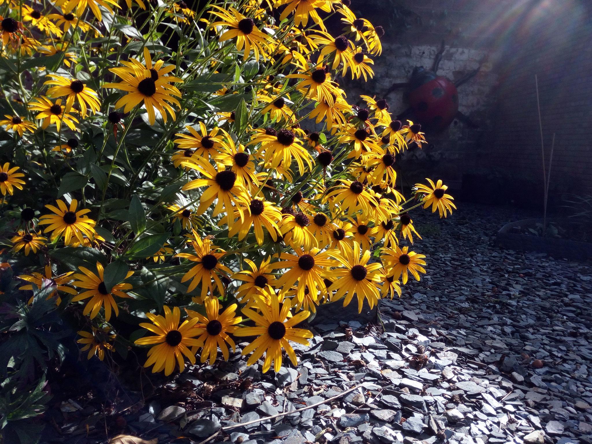 Jardin de ville 120m2 - 2 ans après - Détails: rudbeckia et schiste. Amenagement jardin Bruxelles