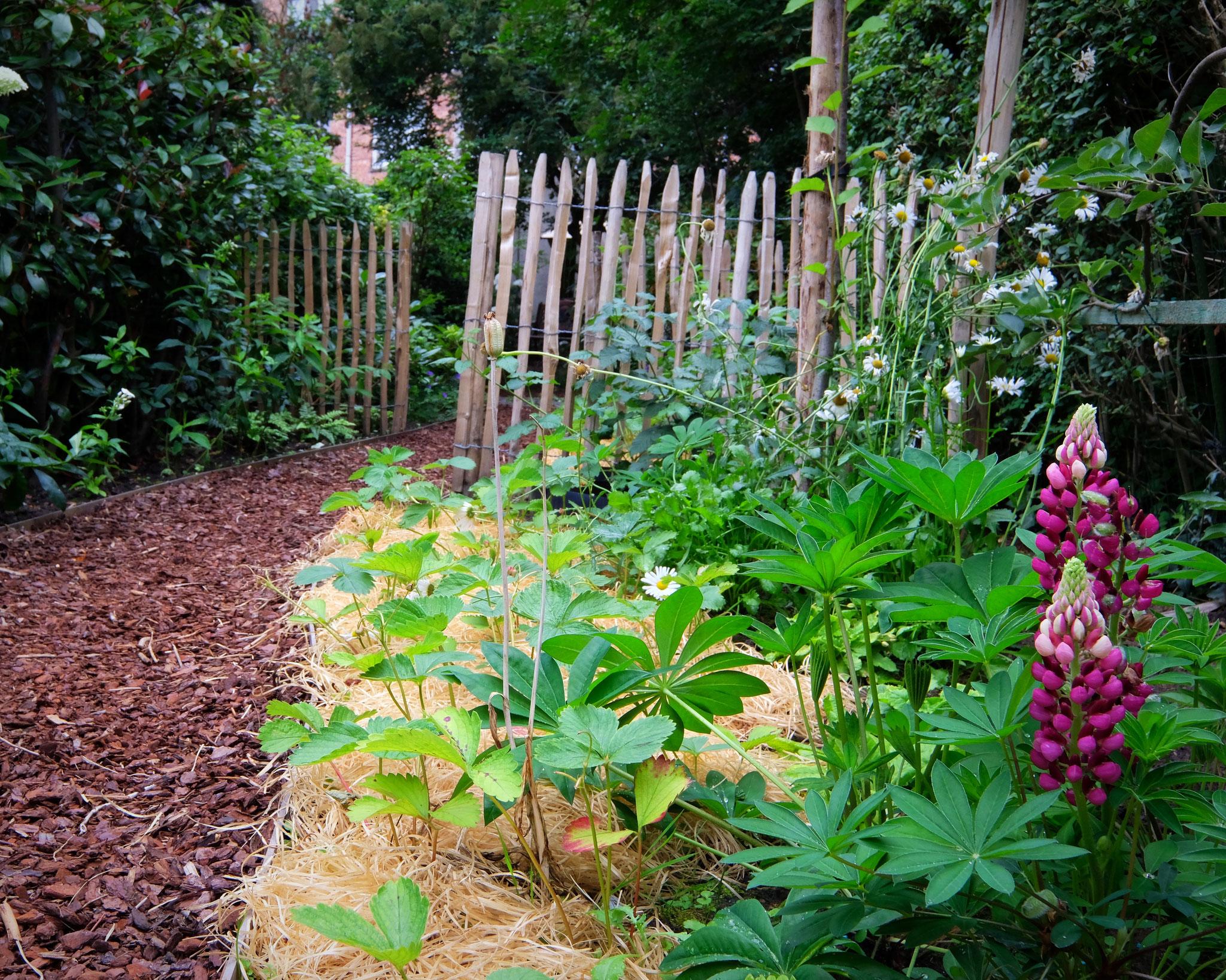 Jardin de ville 120m2 - Agroforesterie urbaine - A ras des fraisiers. Aménagement jardin Bruxelles.