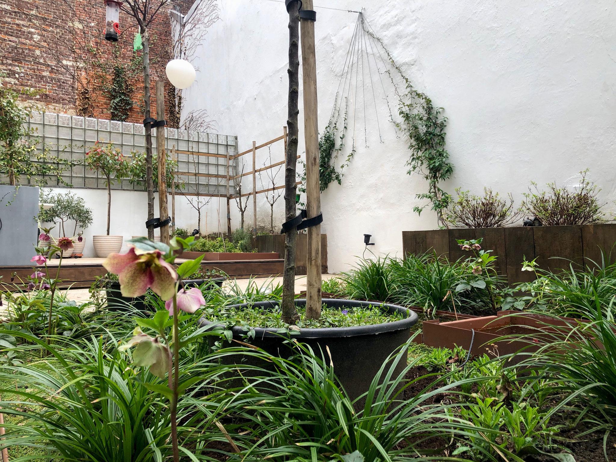 Cour de 40m2 - Jardin aux oiseaux - Printemps 2019 / +1,5 ans / Hellébores en fleur. Aménagement jardin Bruxelles