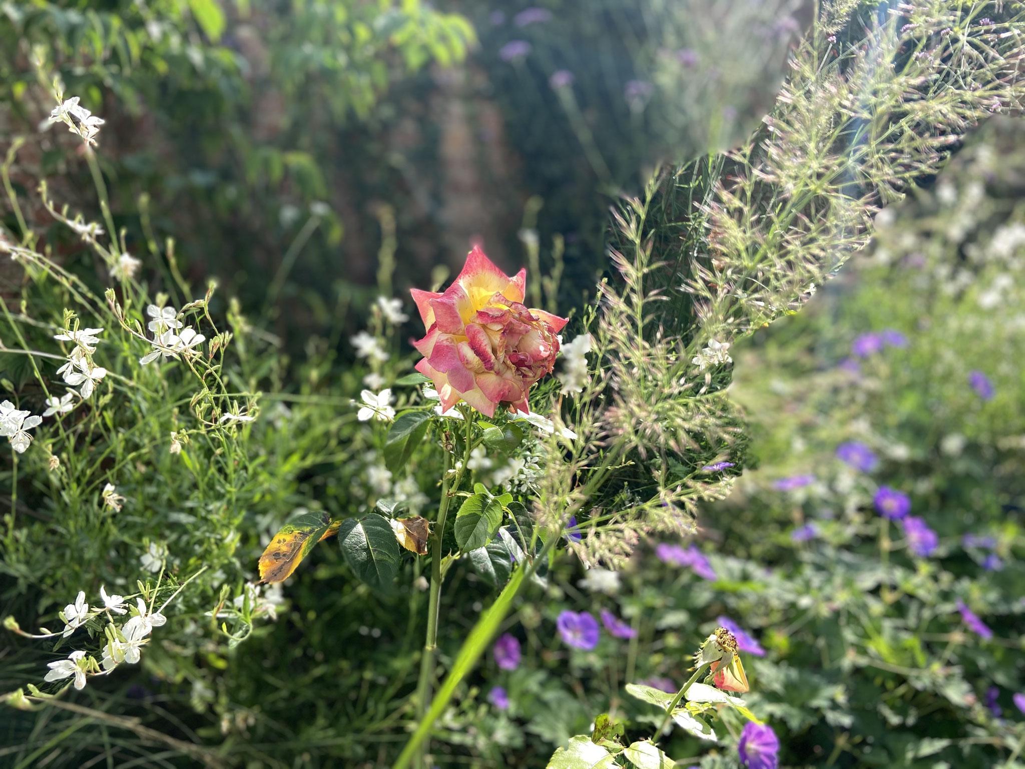 Jardin de ville 50m2 - Jardin naturaliste - Détail de végétation / Rose. Aménagement Jardin Bruxelles