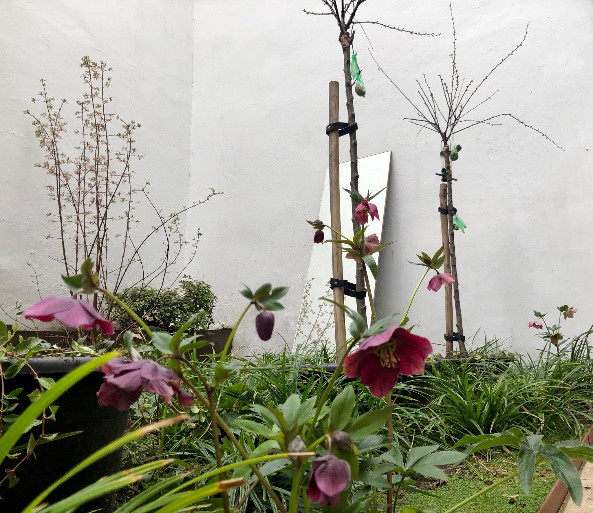 Cour de 40m2 - Jardin aux oiseaux - Printemps 2019 / +1,5 ans / Hellébores et viorne en fleur. Aménagement jardin Bruxelles