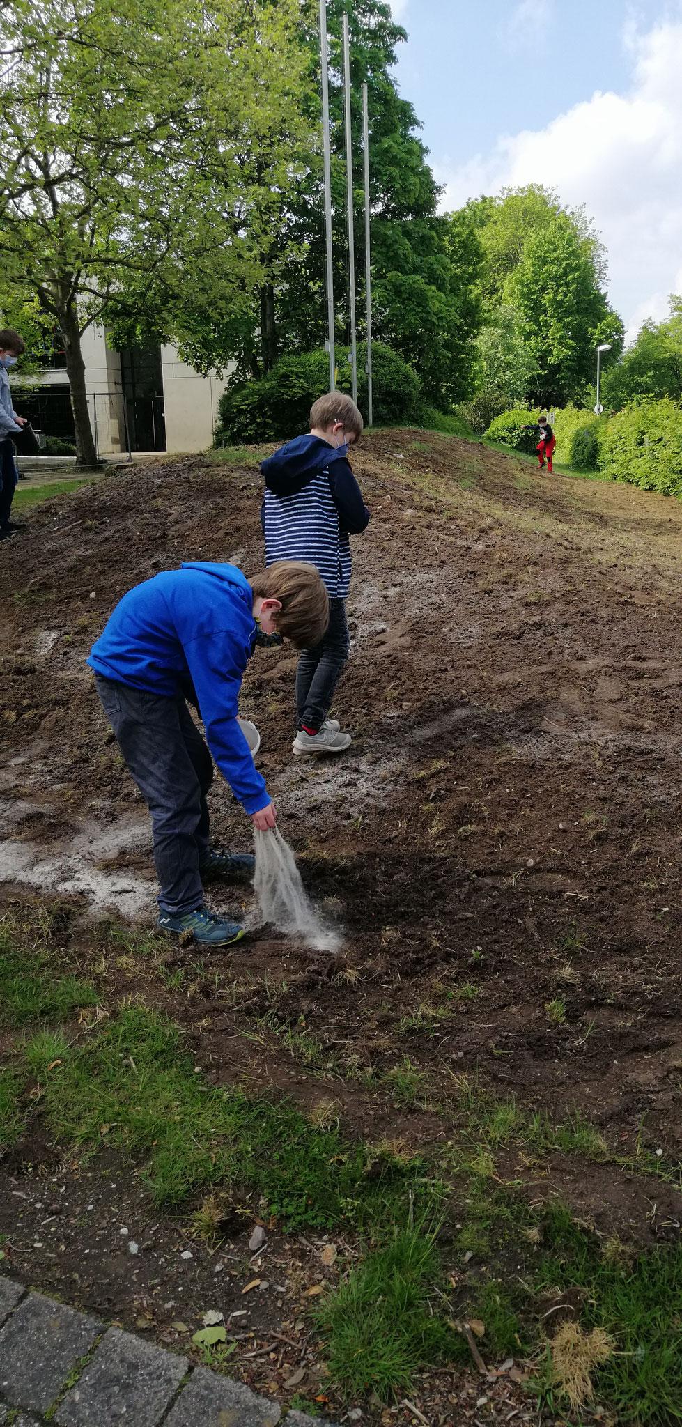 Die Saat war mit Sand vermischt, damit die Körner mit genügend Abstand gesät werden konnten.