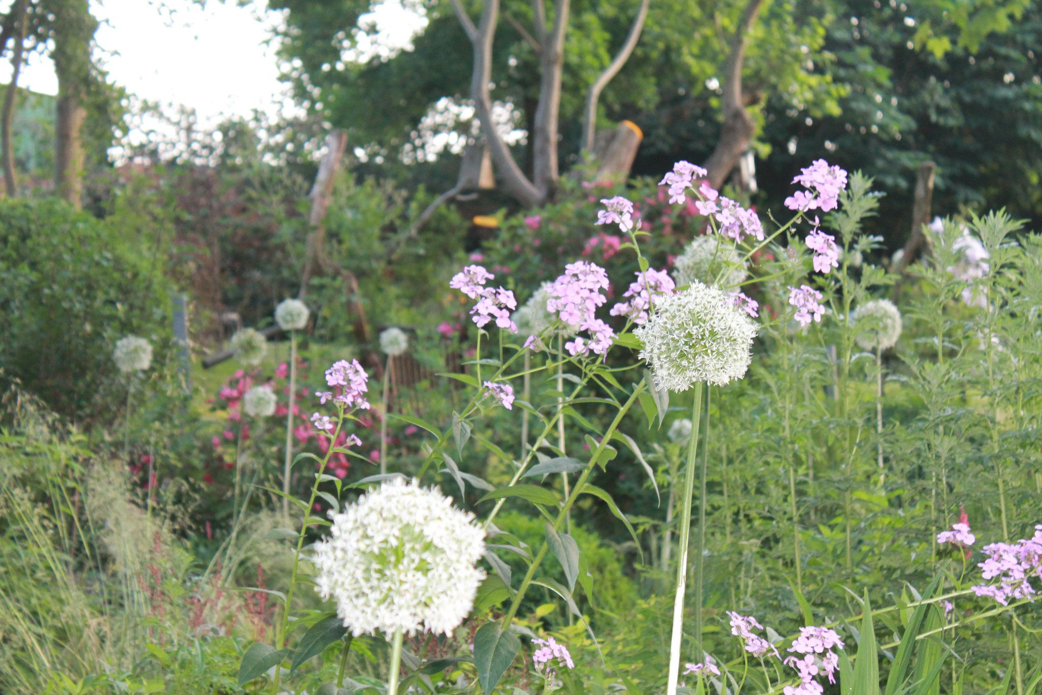 Riesen-Zierlauch bestimmt dieses Jahr den Garten