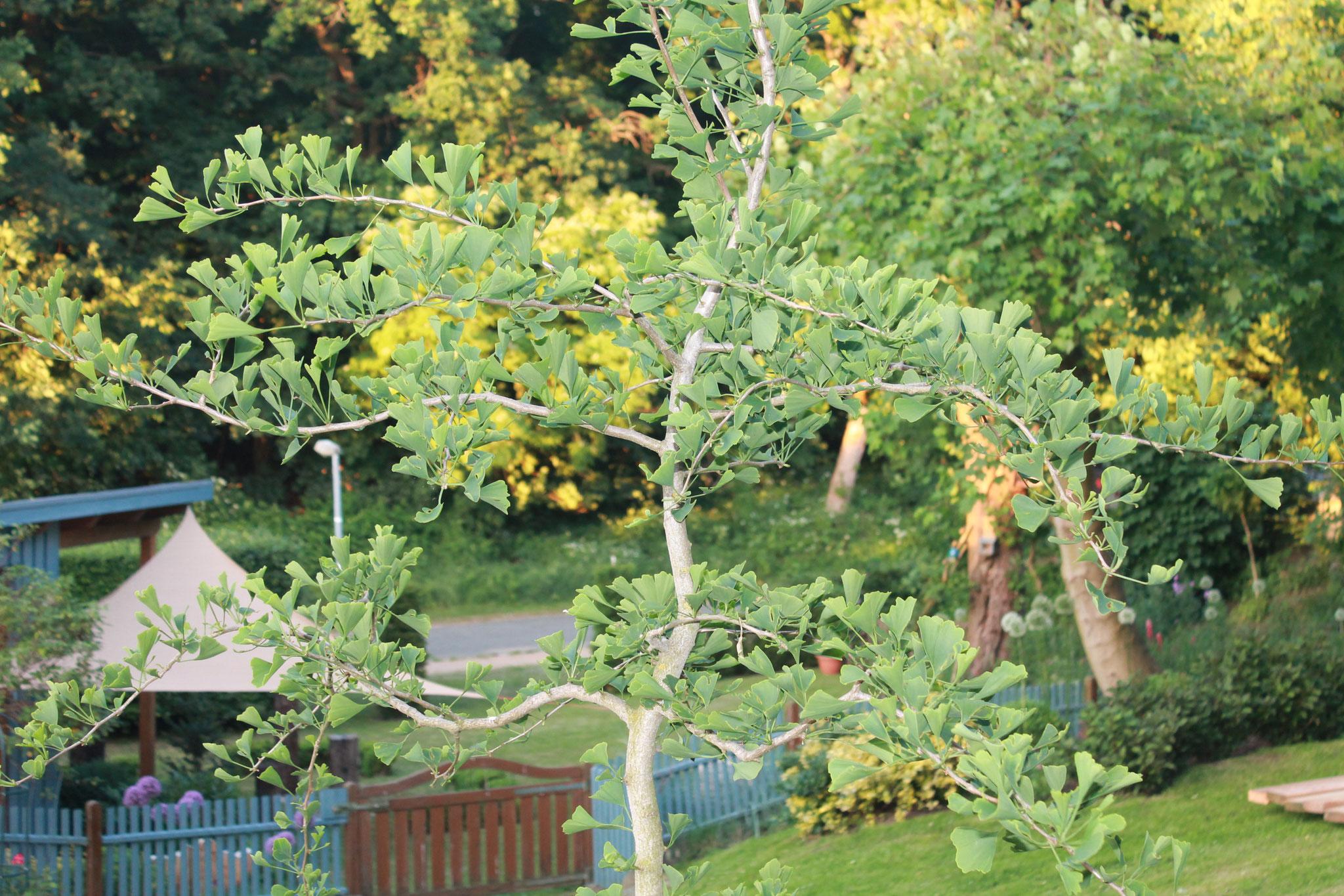 Der Gingko-Baum als Weisheitsbaum