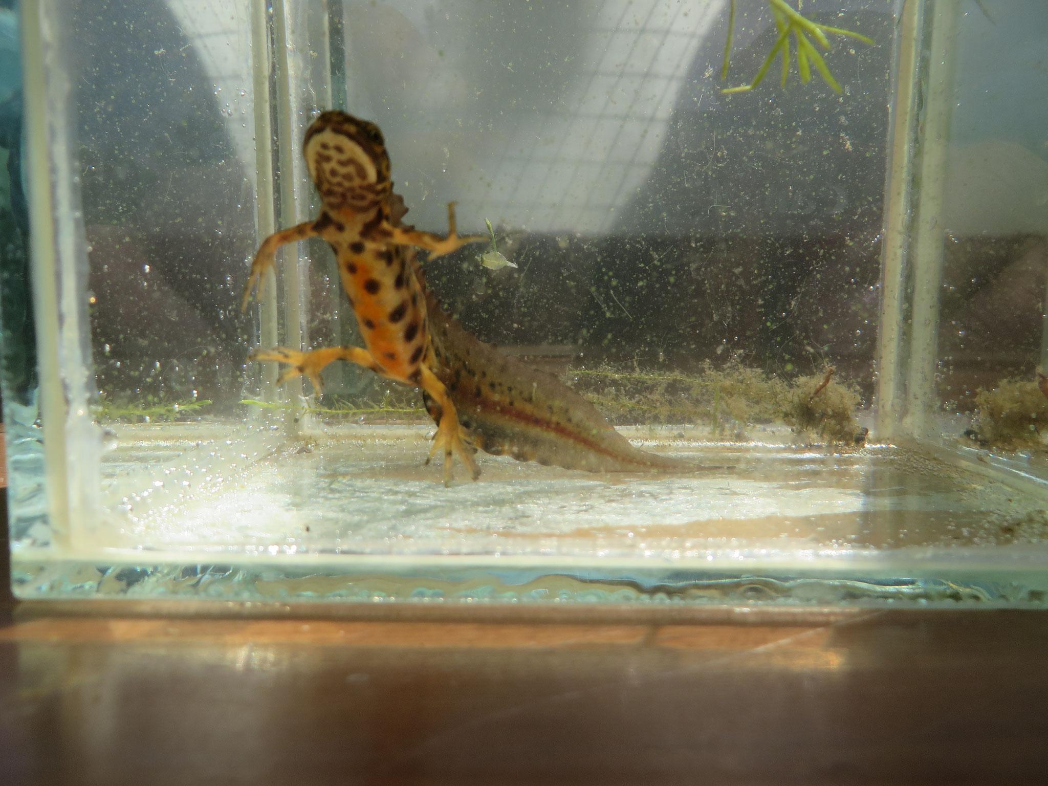 Kleine watersalamander (mannetje).