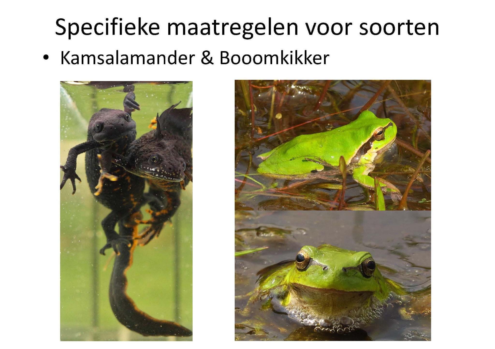 Getracht wordt met o.a. poelen de omstandigheden voor Boomkikker en Kamsalamander te optimaliseren.