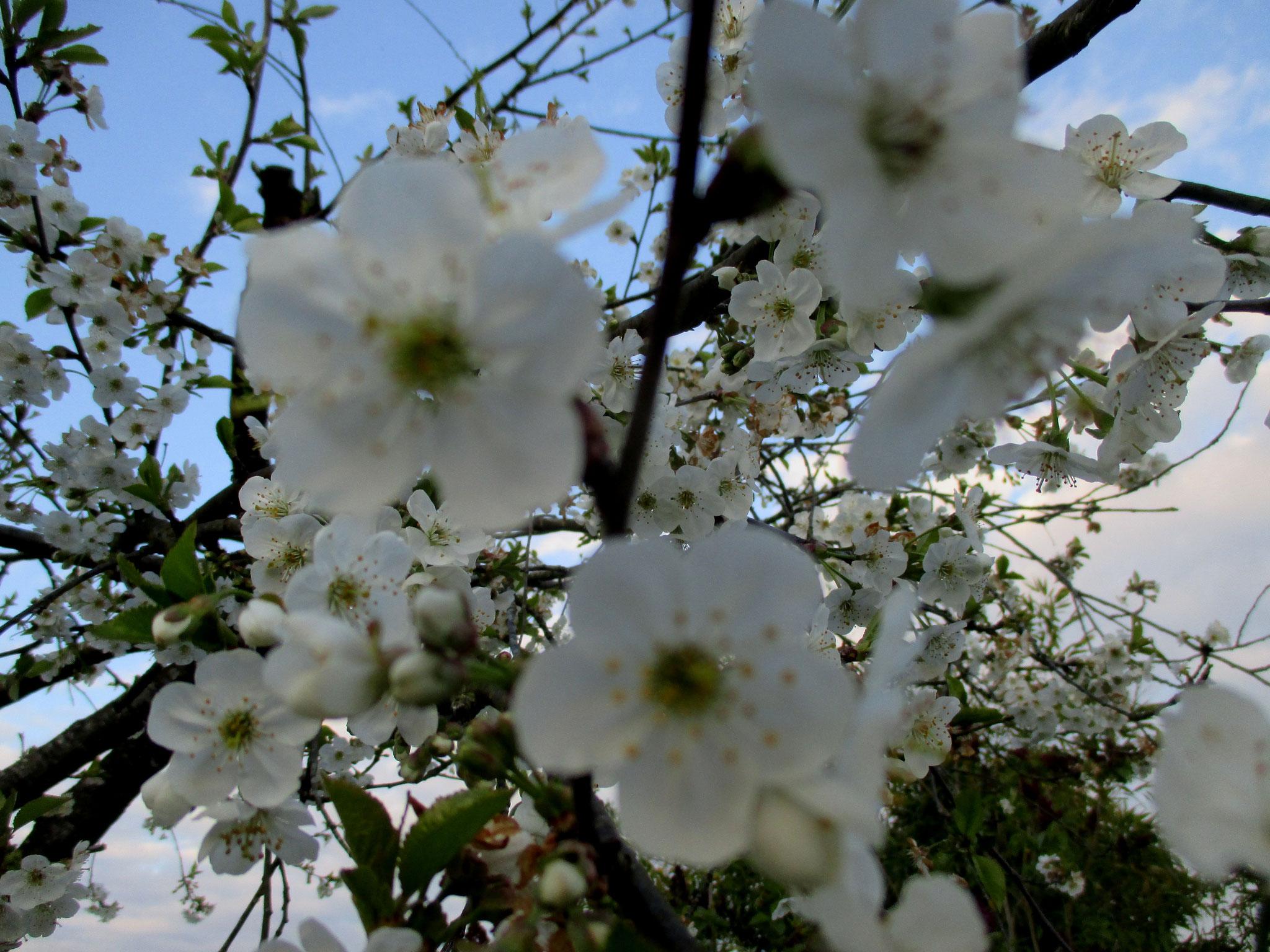 Le cerisier en fleur, en Anjou
