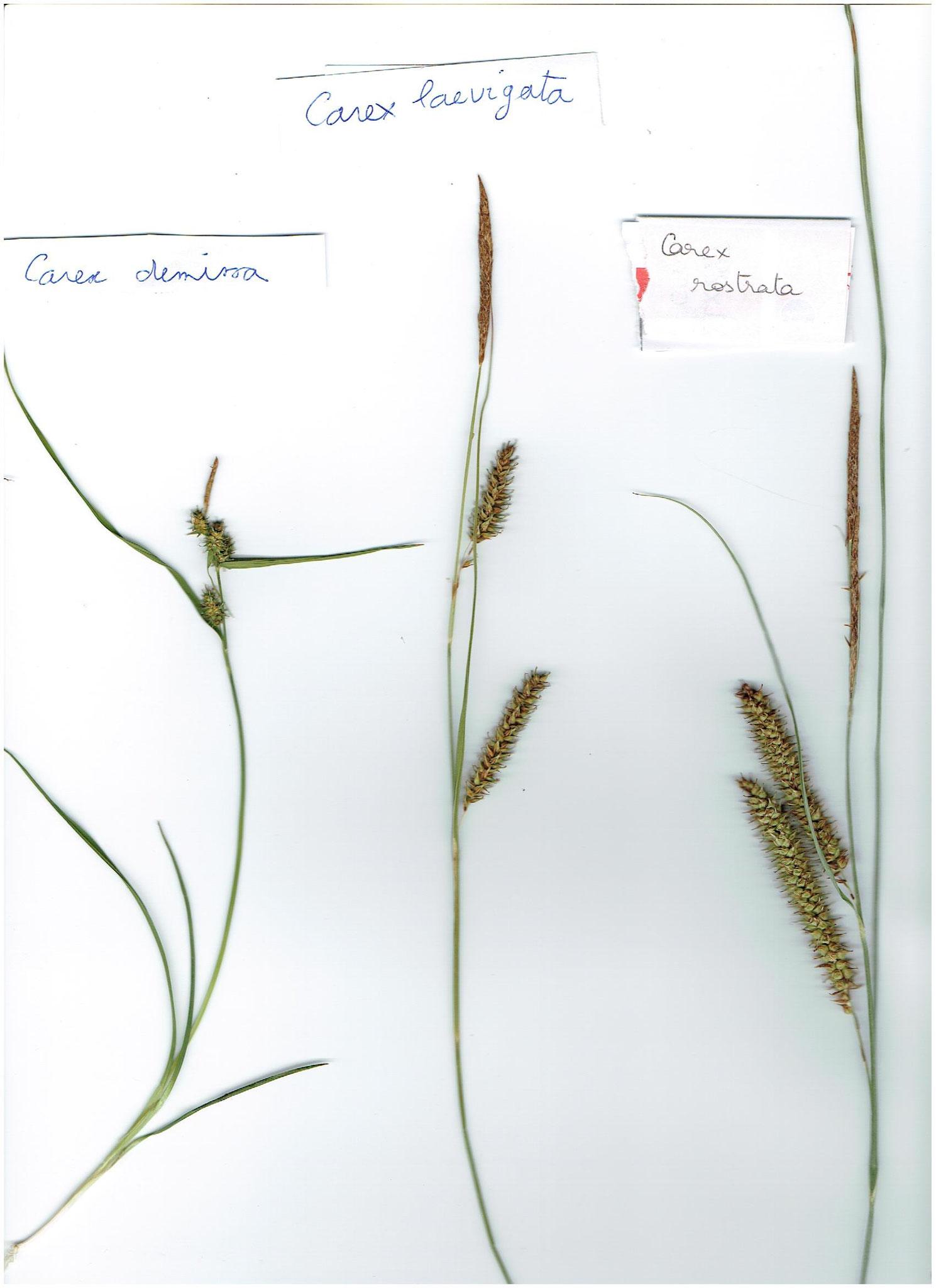 Carex demissa, laevigata et rostrata © AMV (A. Bifolchi & T. Simon)