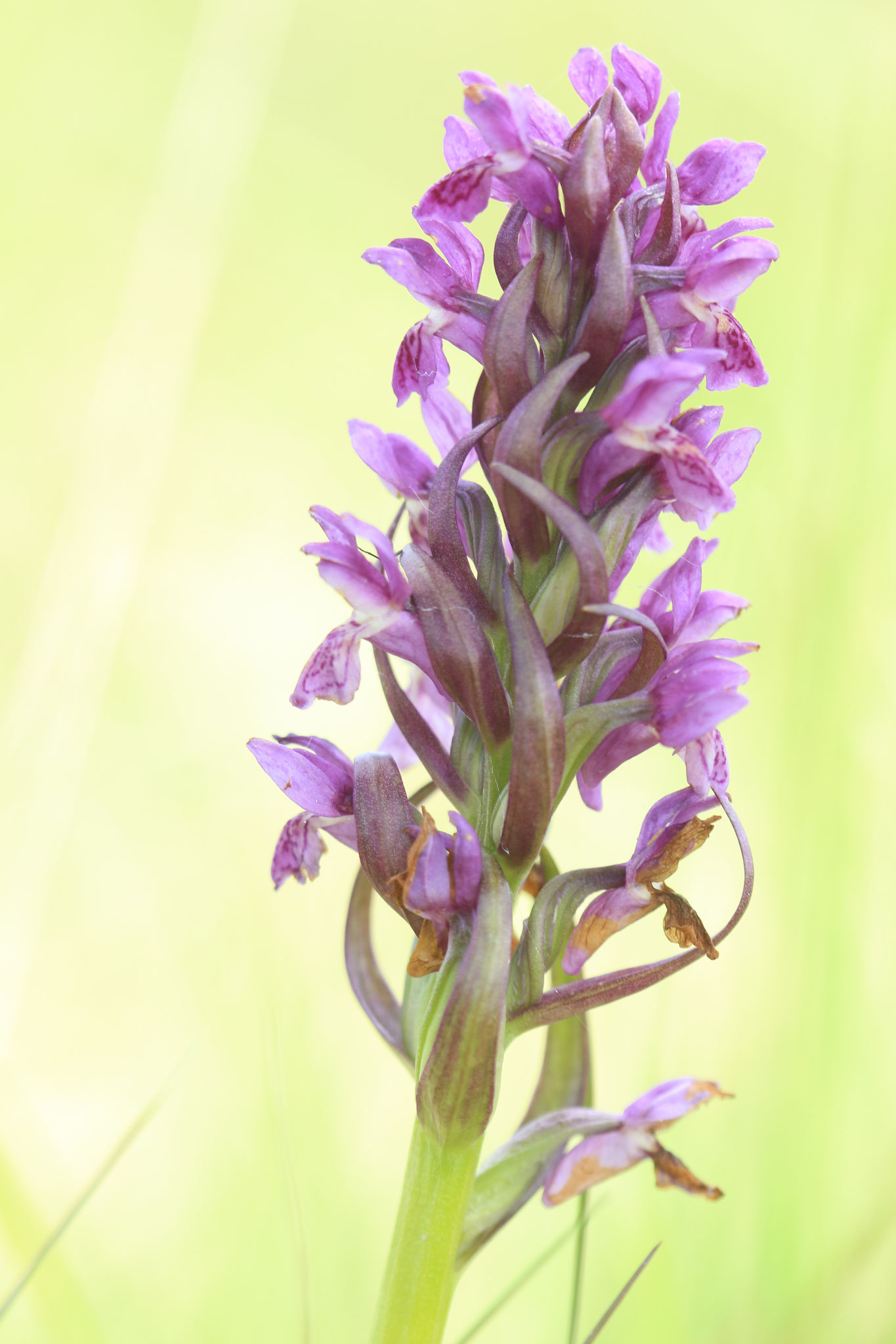 Dactylorhiza incarnata © E. Holder