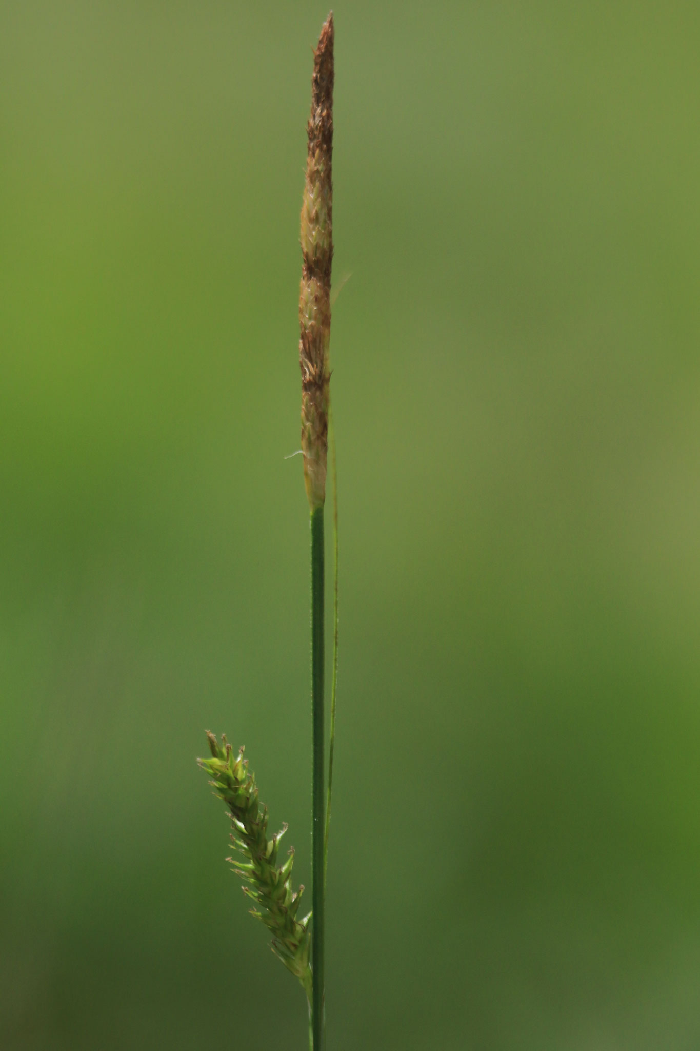 Carex laevigata © E. Holder