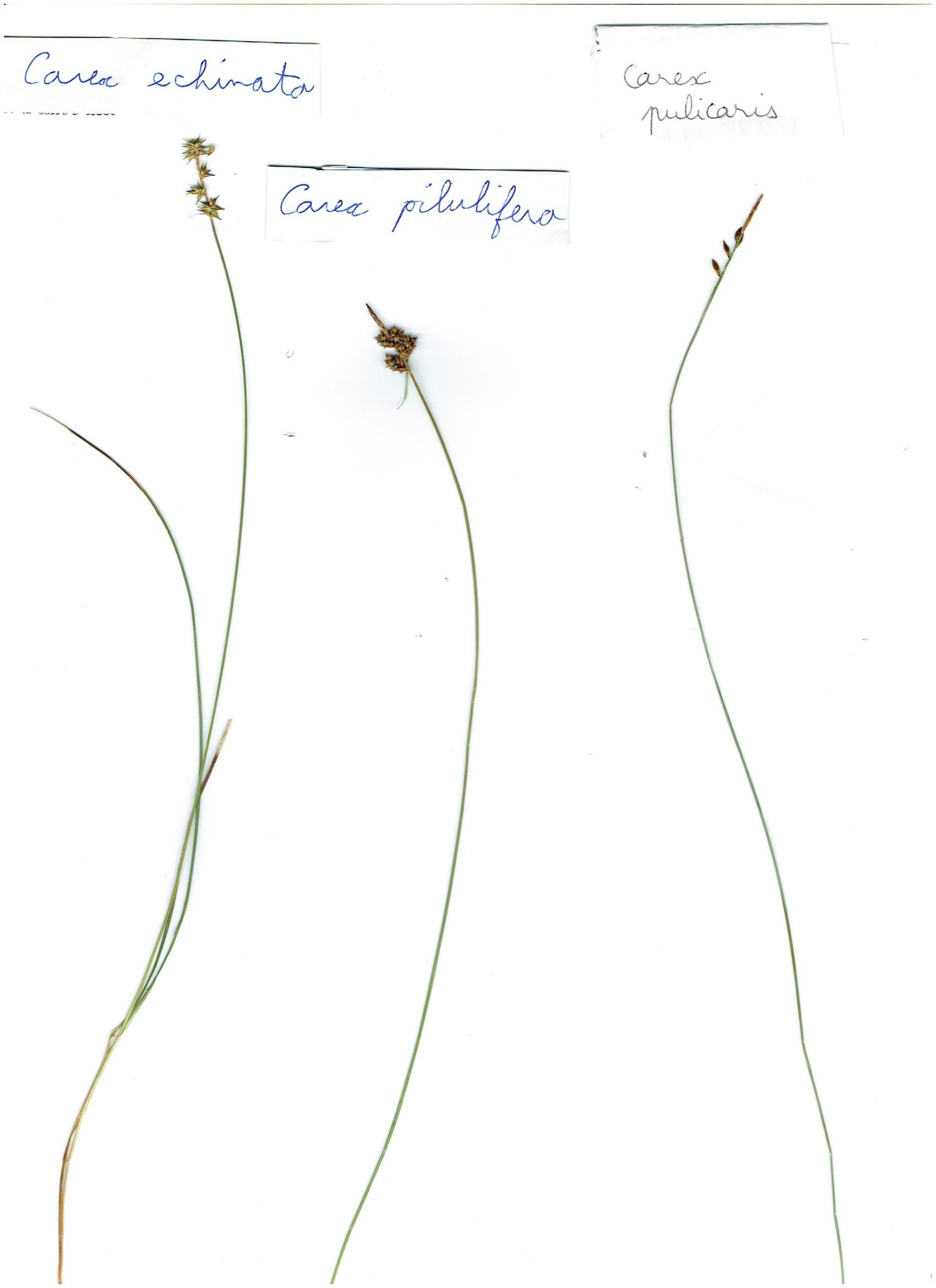 Carex echinata, pilulifera et pulicaris © AMV (A. Bifolchi & T. Simon)