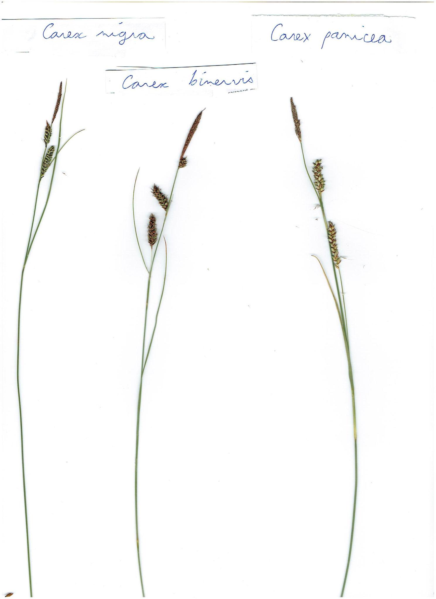 Carex nigra, binervis et panicea © AMV (A. Bifolchi & T. Simon)