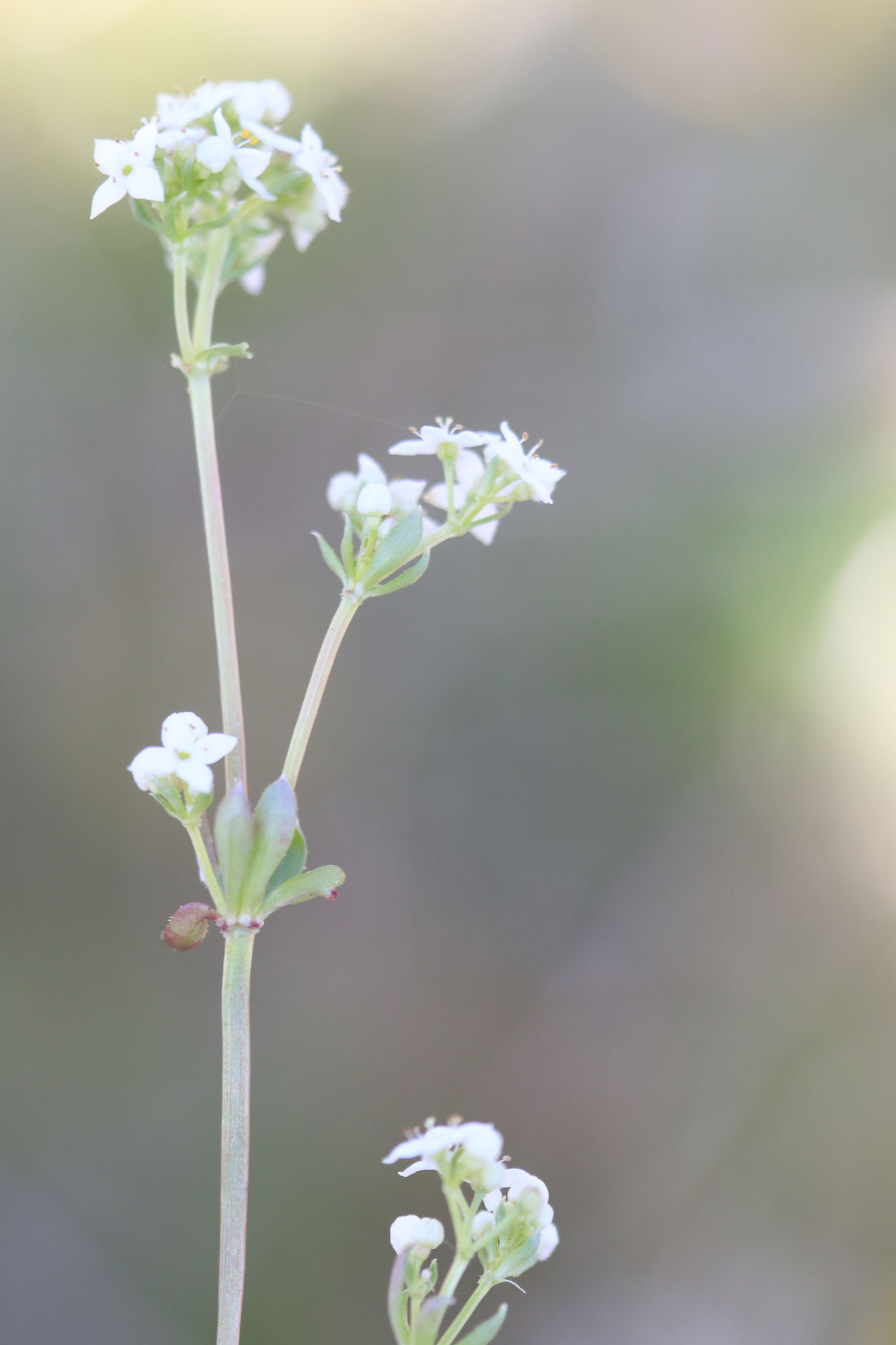 Galium saxatile © E. Holder