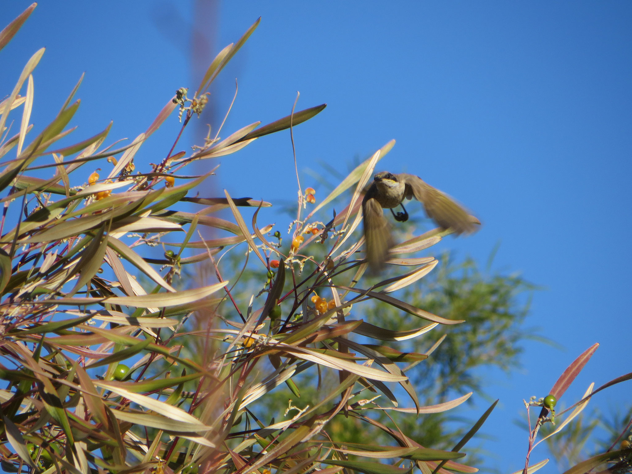 White-gaped honey eater in flight