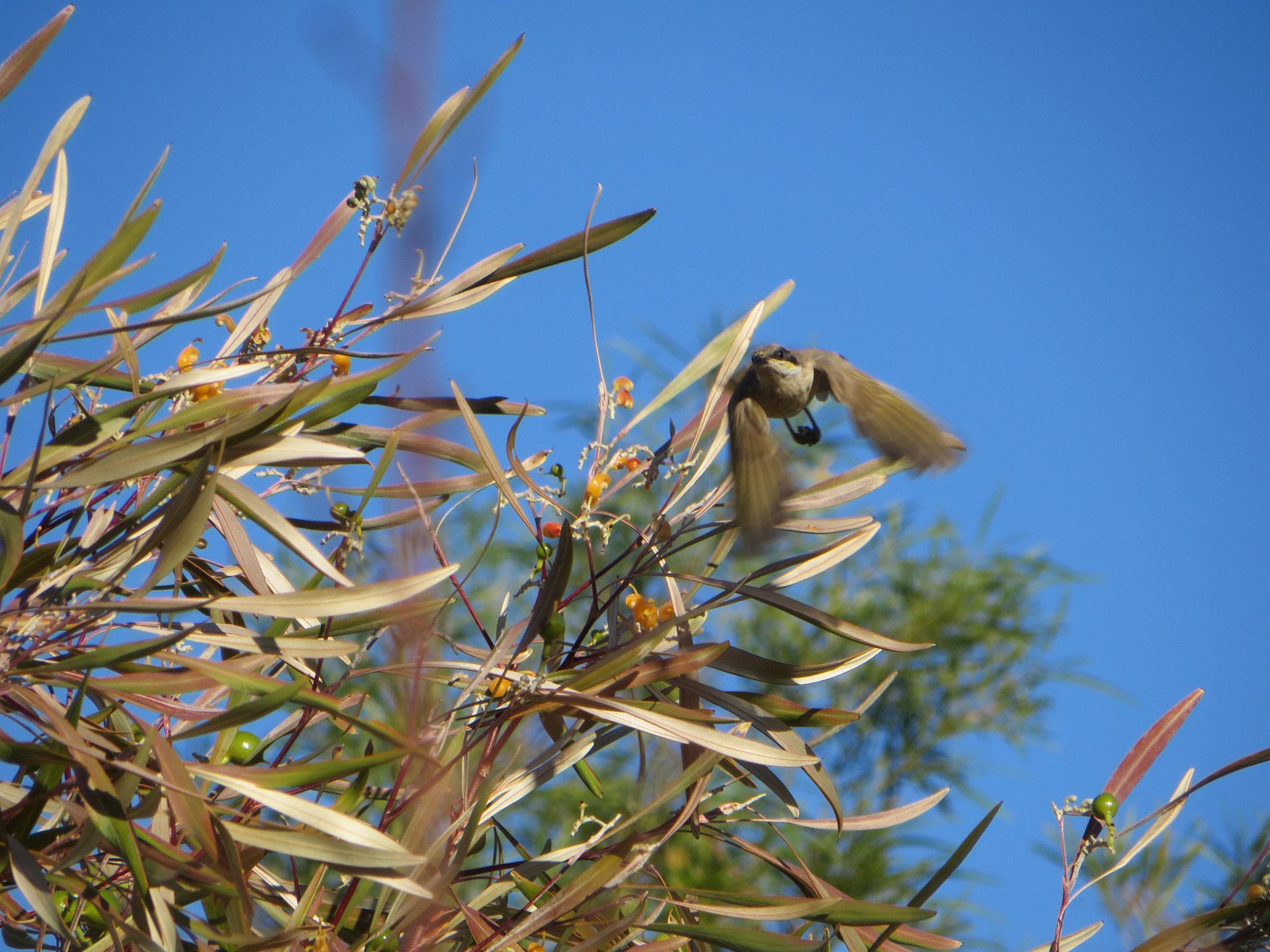 White-gaped honey eater in flight