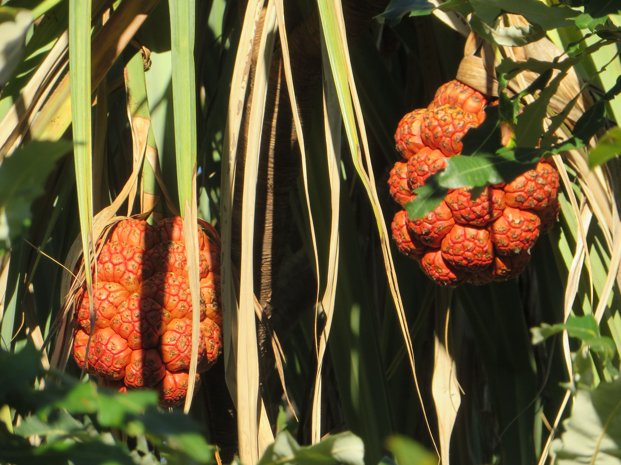 Pandanus fruit ripens from green to orange and red