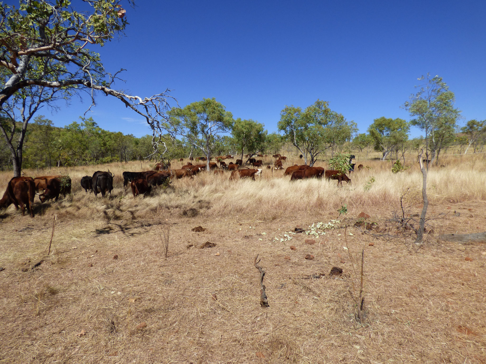 Cattle reducing fire danger