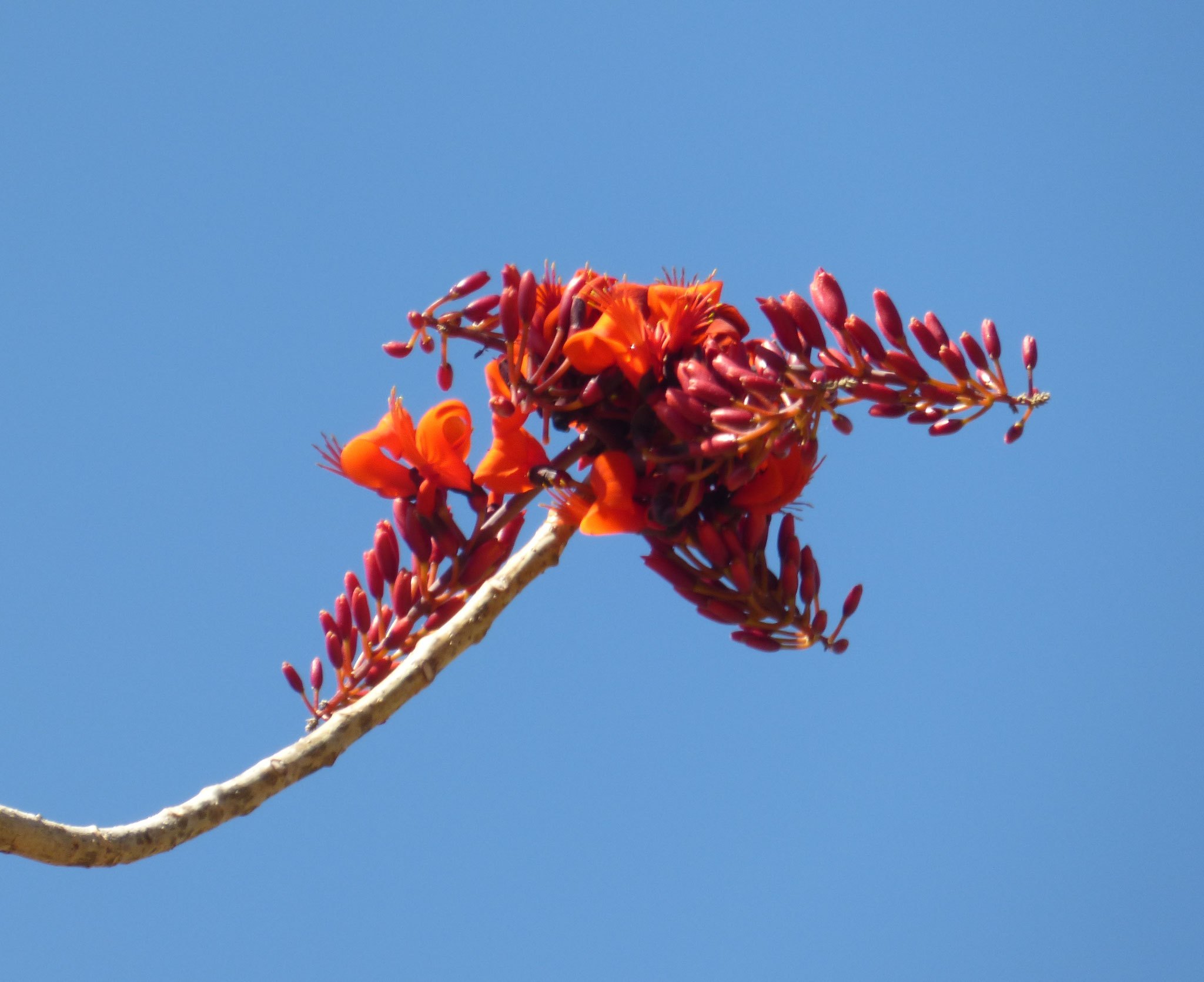 Flowering Bats-Wing Coral tree