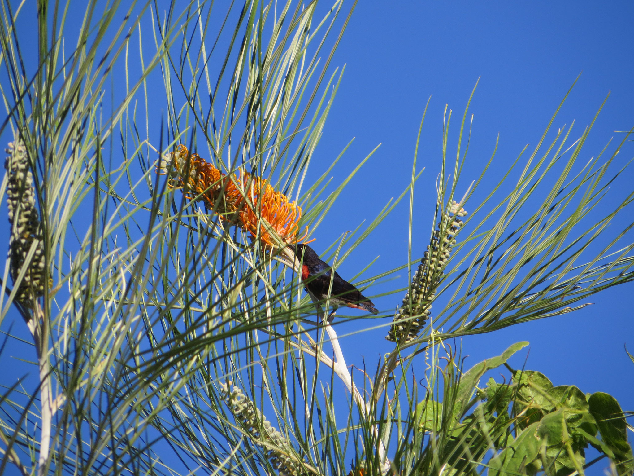 Mistletoe bird enjoying the flower of the Silky Grevillea Tree (Grevillea pteridifolia)