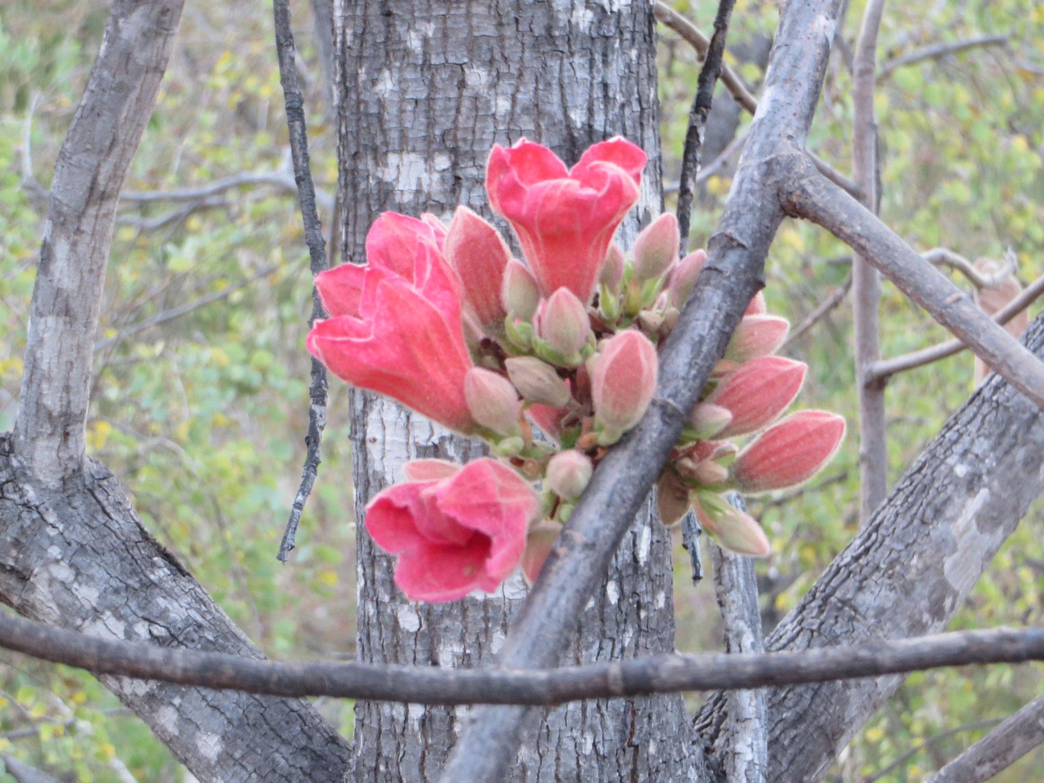 A cluster of Kimberley Rose - Kurrajong