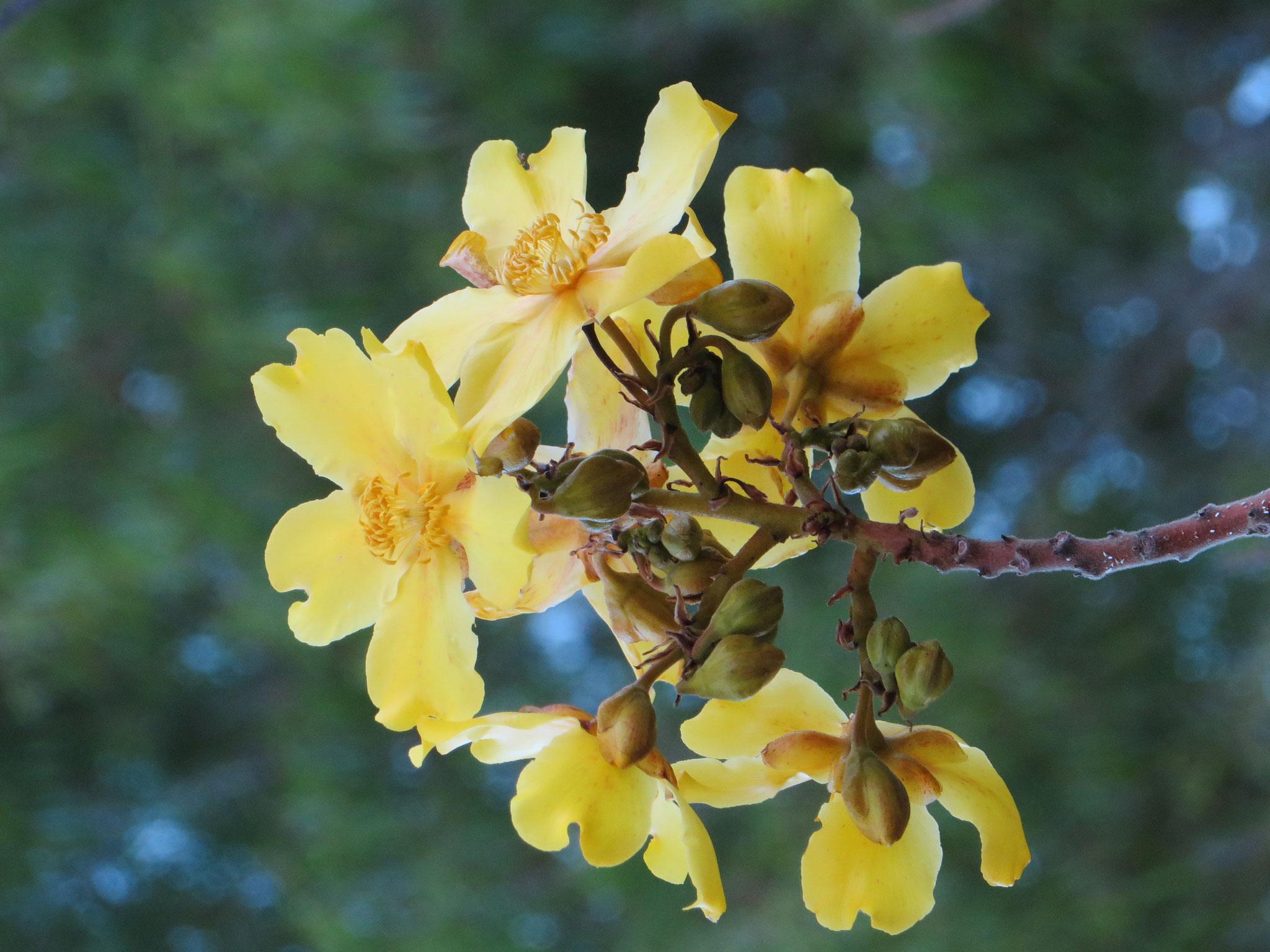 Kapok tree (Cochlospermum fraseri) flowers