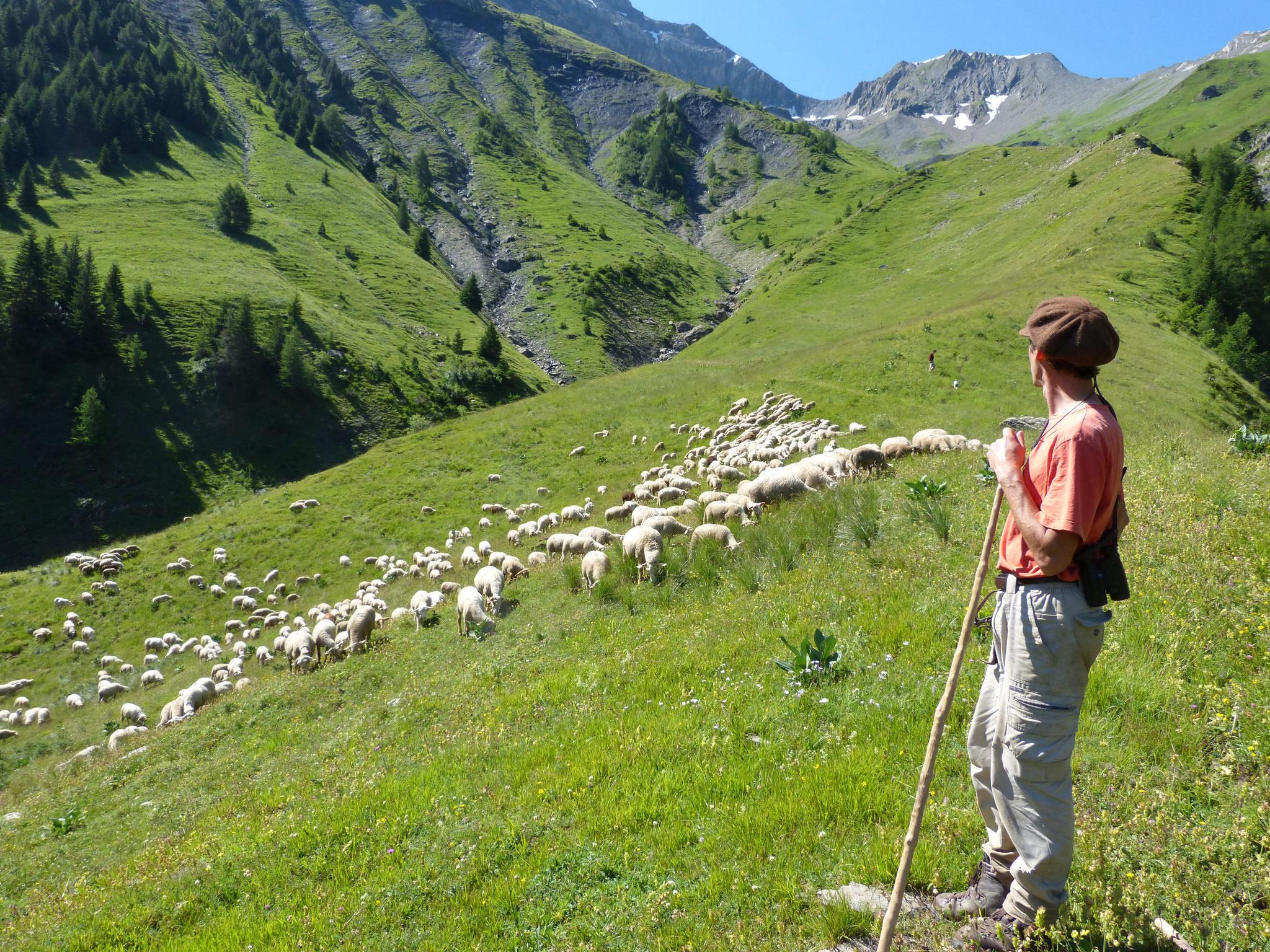 Les agneaux d'alpage inalpent dans les massifs de Chartreuse, Belledone, des Ecrins et de la Tarentaise