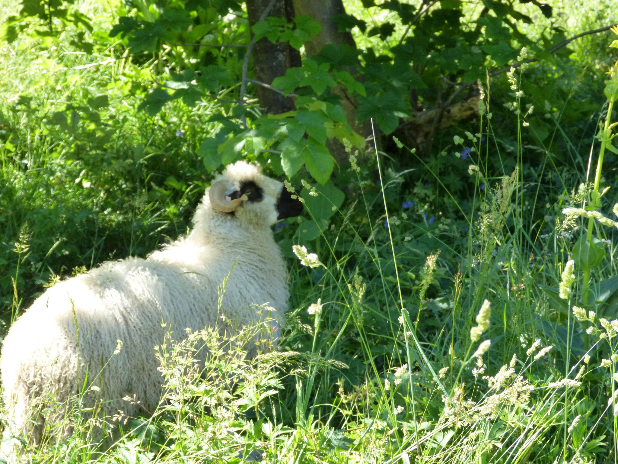 L'Agneau d'Alpage est donc nourri sans OGM et sans antibiotique