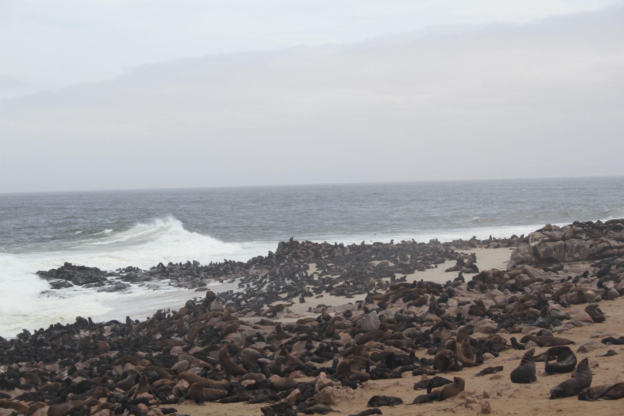 Кейп Кросс - самая большая колония Морских котиков в Намибии
