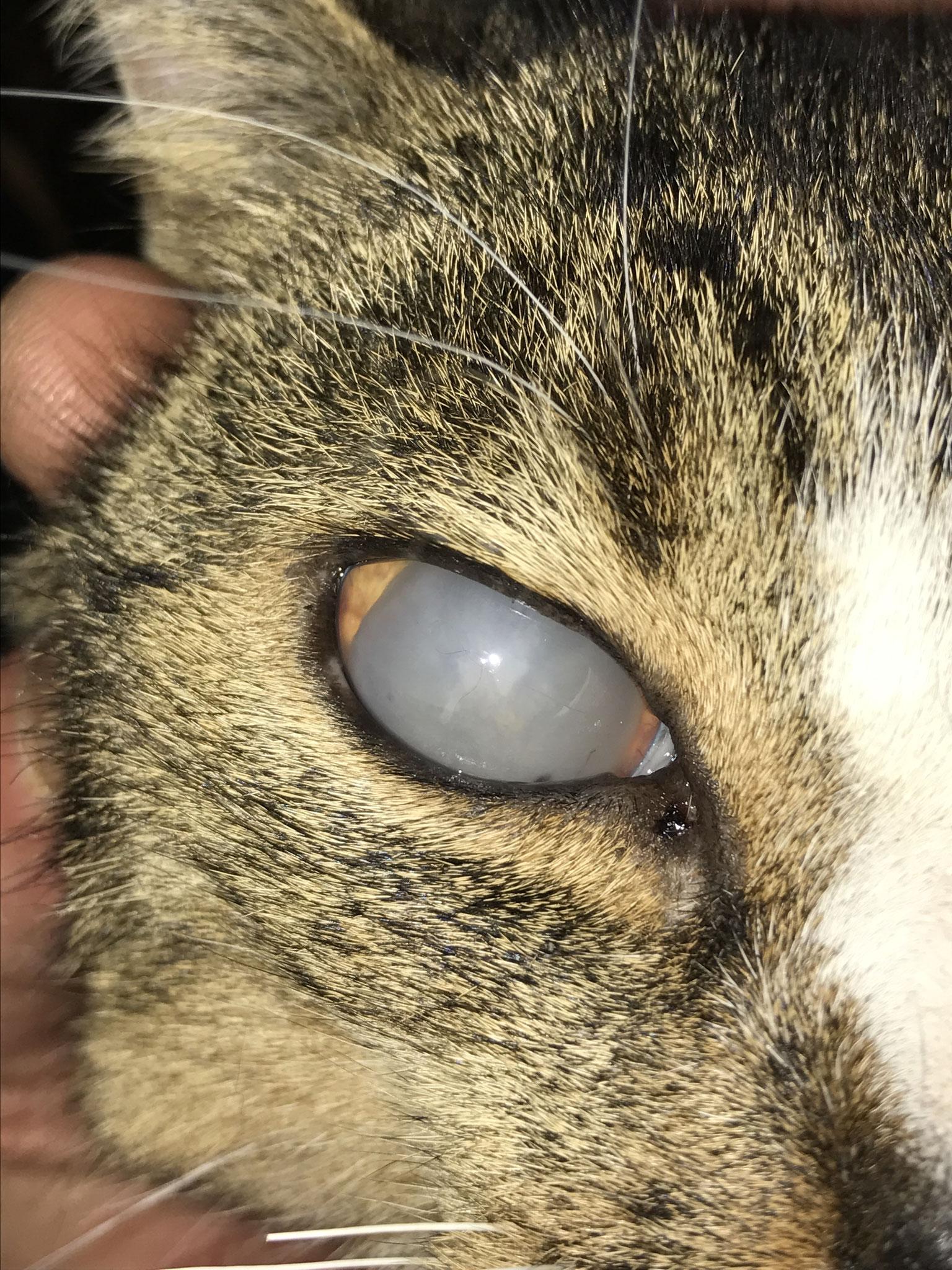Grauer Star und Sekundärer grüner Star - Erblindung Katze