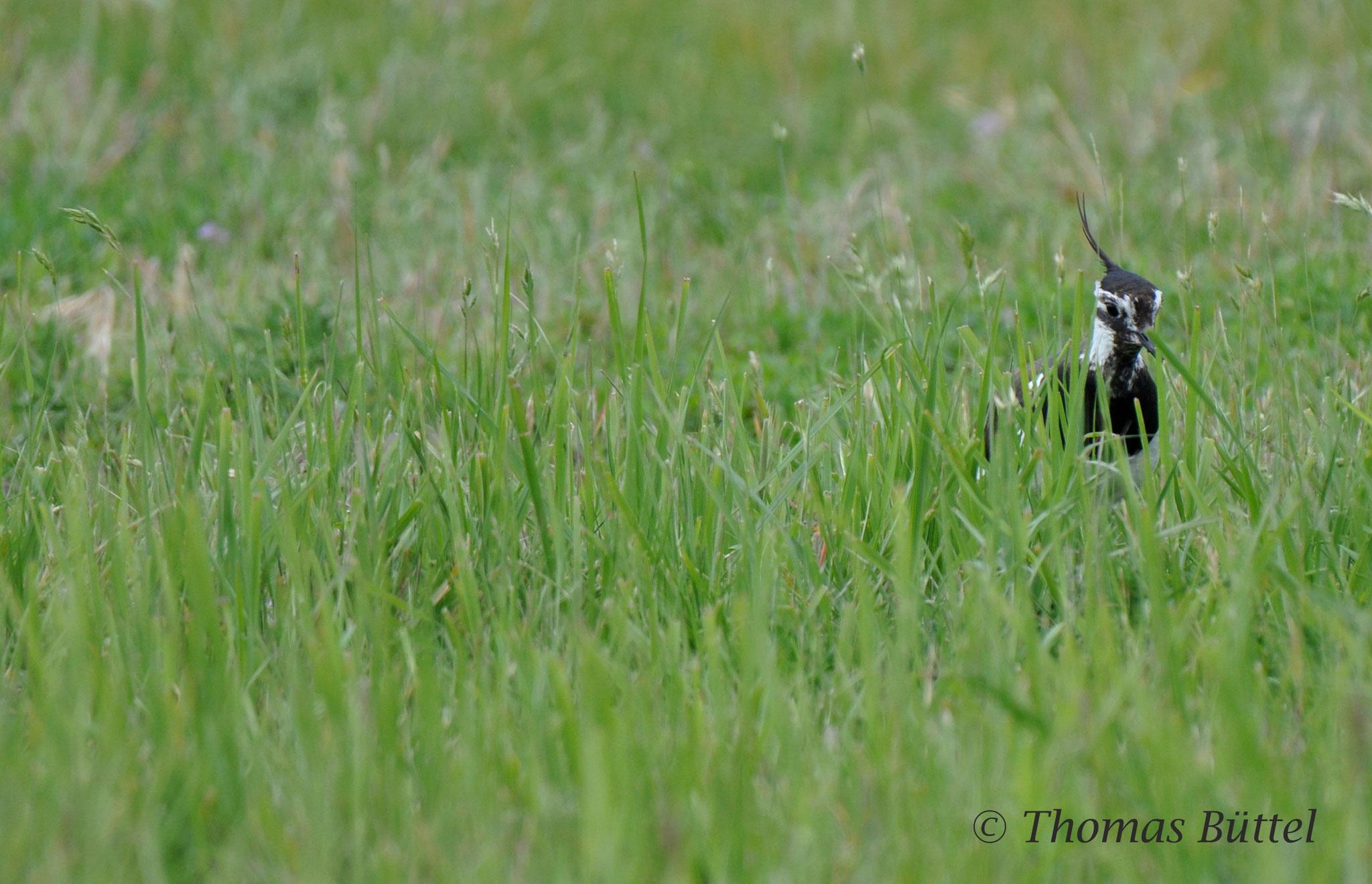 Kiebitz (hier glücklicherweise noch ein häufiger Brutvogel)